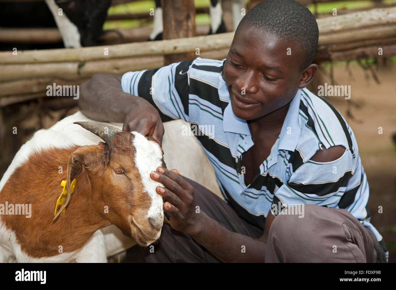 Young farmer with young Boer goat, which produces more meat than traditional breeds, Uganda. - Stock Image
