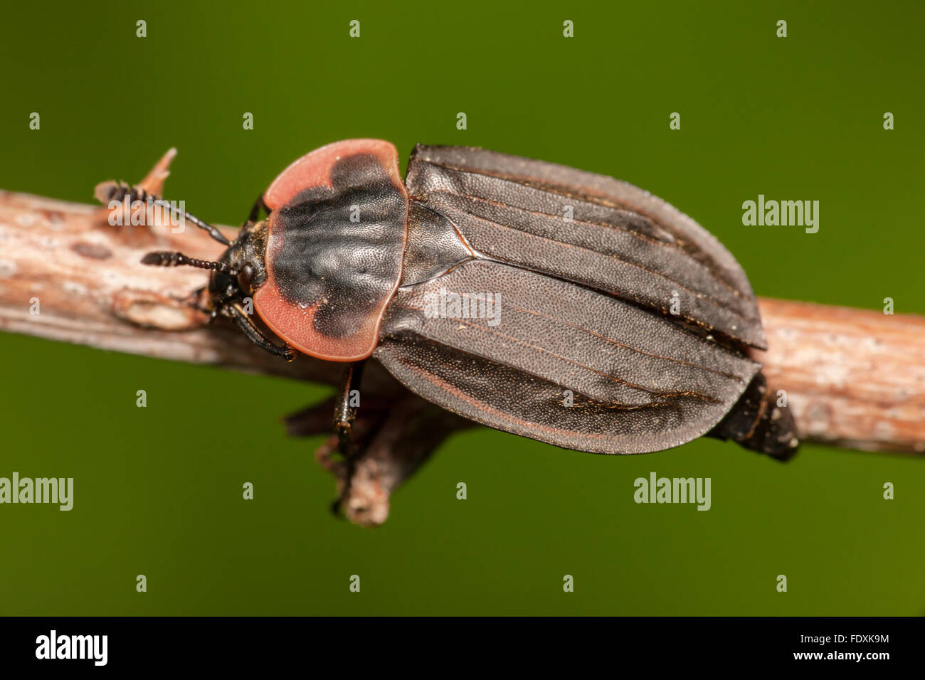 Margined Carrion Beetle (Oiceoptoma noveboracense) - Stock Image