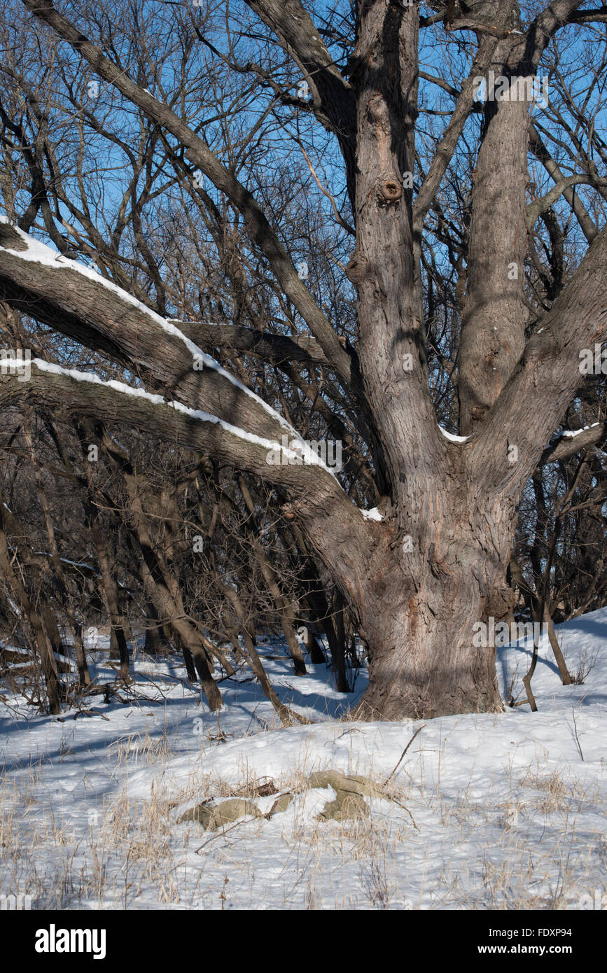 Large Silver Maple Acer Saccharinum Tree At The Edge Of A Winter