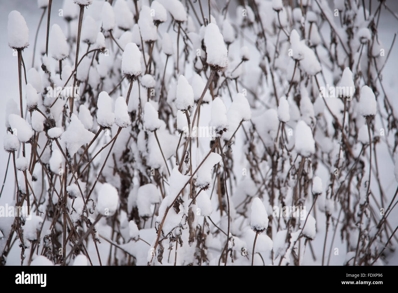 Group of snow-covered Purple Coneflower (Echinacea purpurea) stems and seed heads. - Stock Image