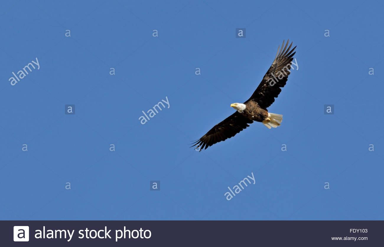 An American Bald Eagle (Haliaeetus leucocephalus) soars against a deep blue sky above Montana, USA. Stock Photo