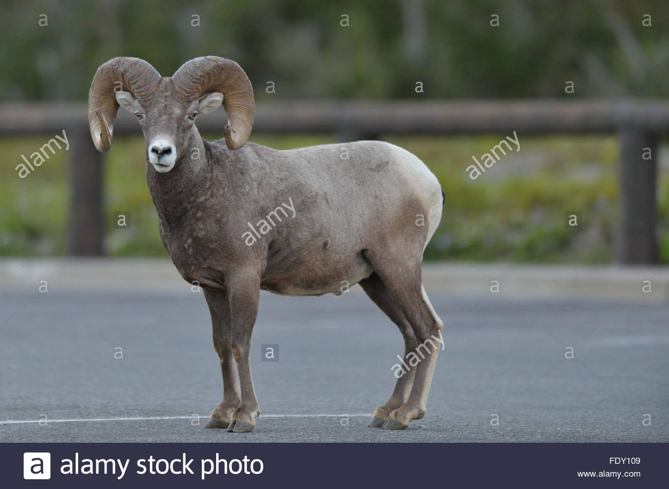 Bighorn Sheep (Ovis canadensis) stands in a parking lot near Logan's Pass in Glacier National Park, Montana Stock Photo