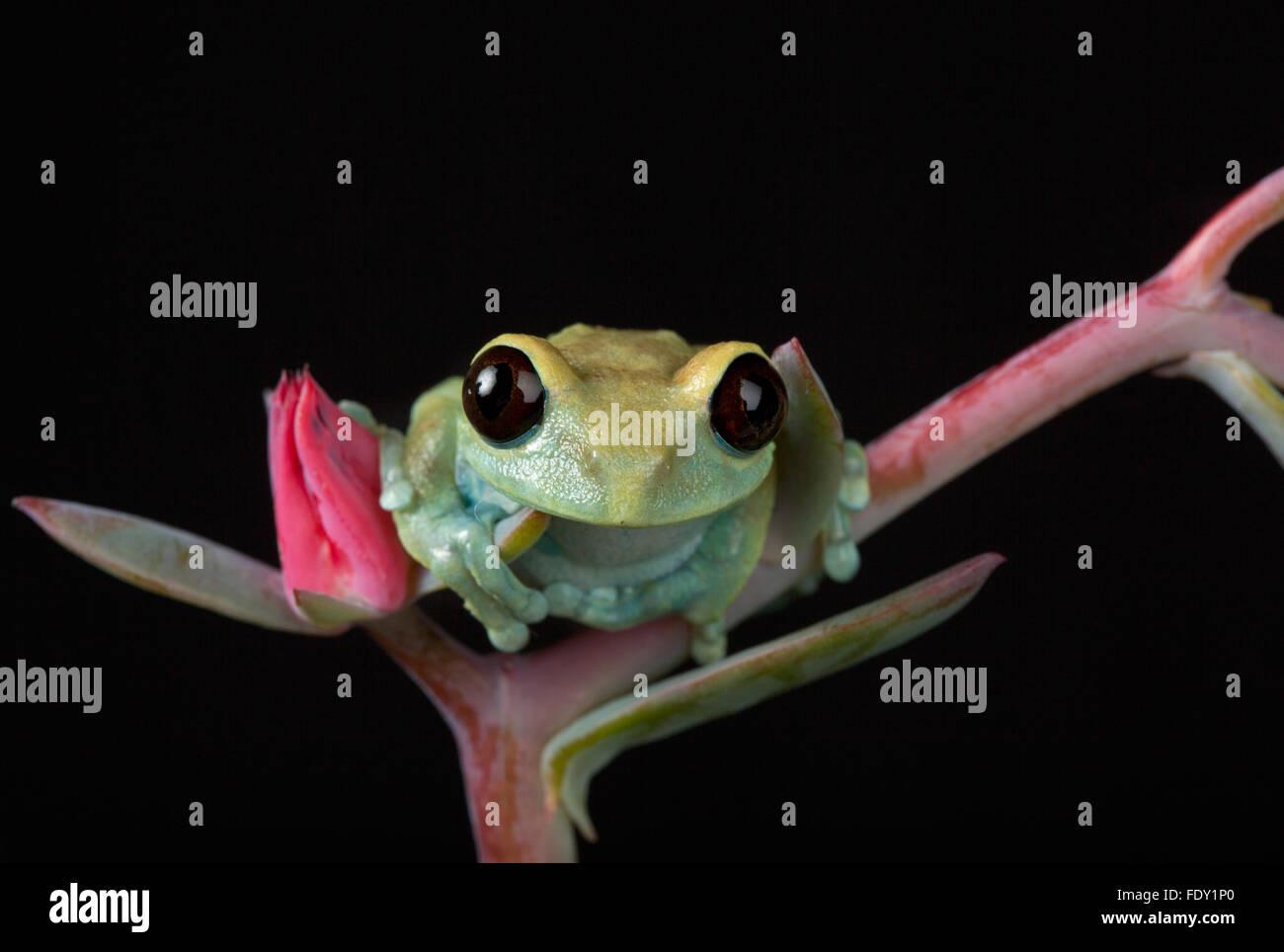 Maroon Eyed Tree Frog - Stock Image