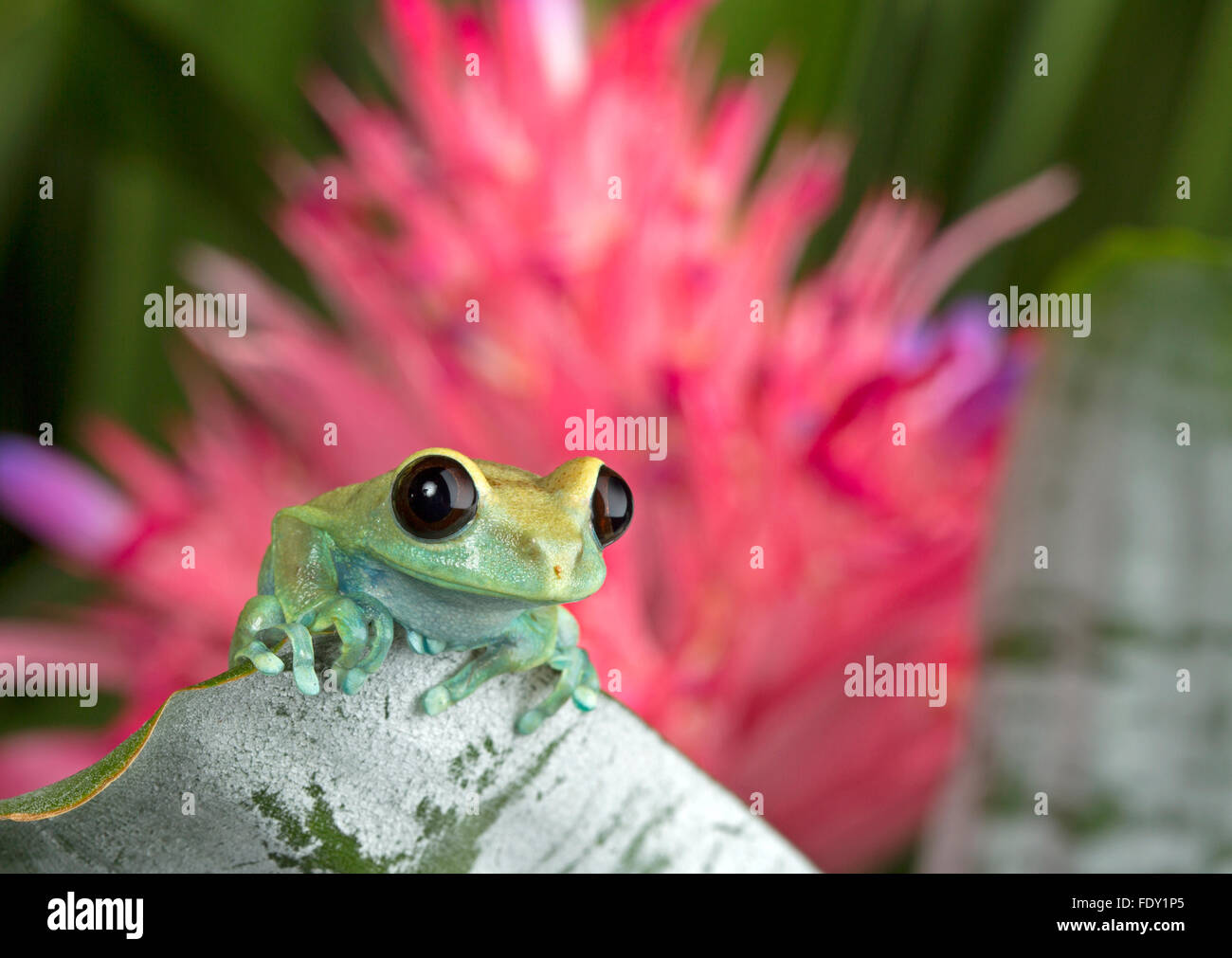 Tree Frog on green foliage - Stock Image