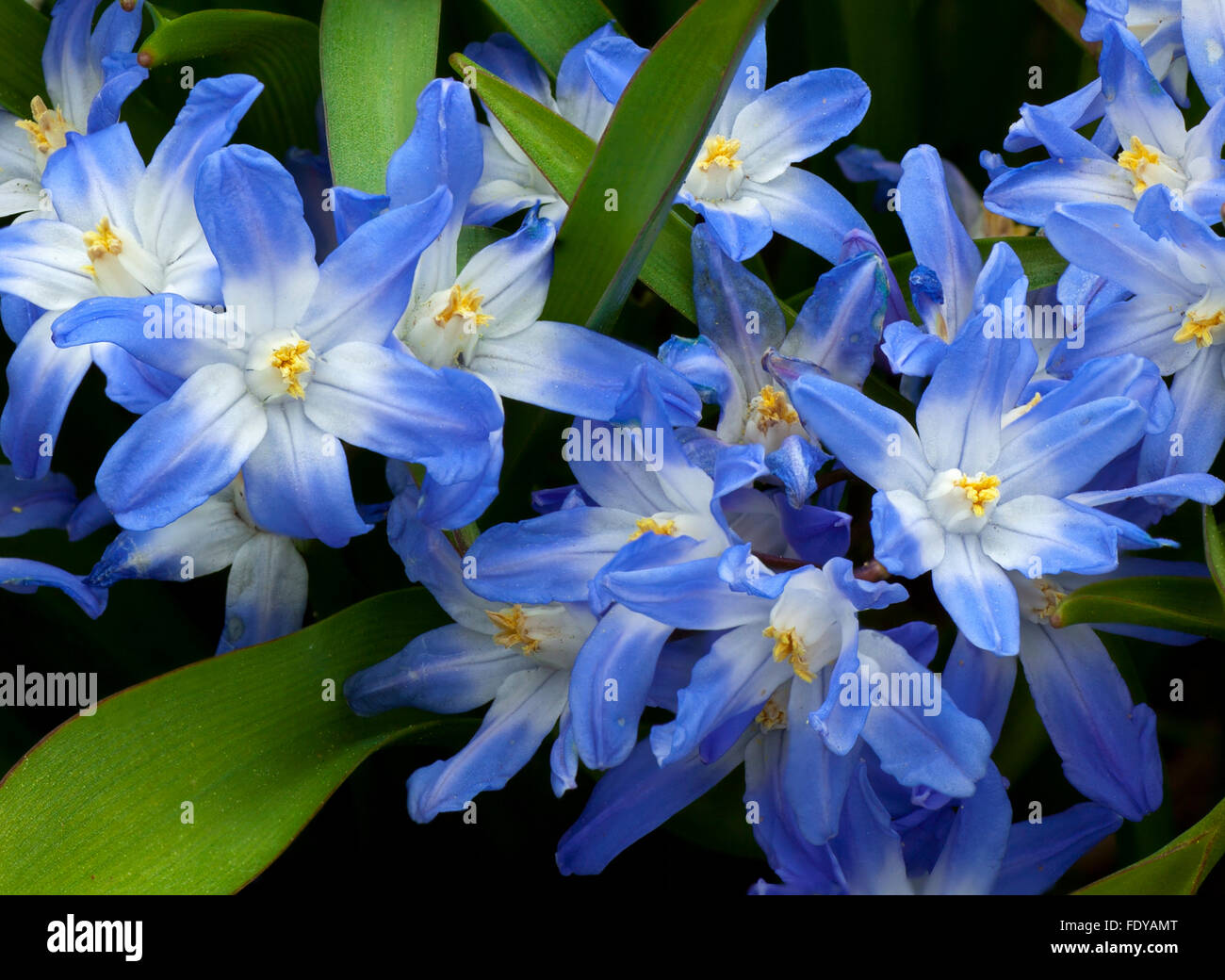 Detail of Glory of the Snow (Chionodoxa luciliae) an early spring flower - Stock Image