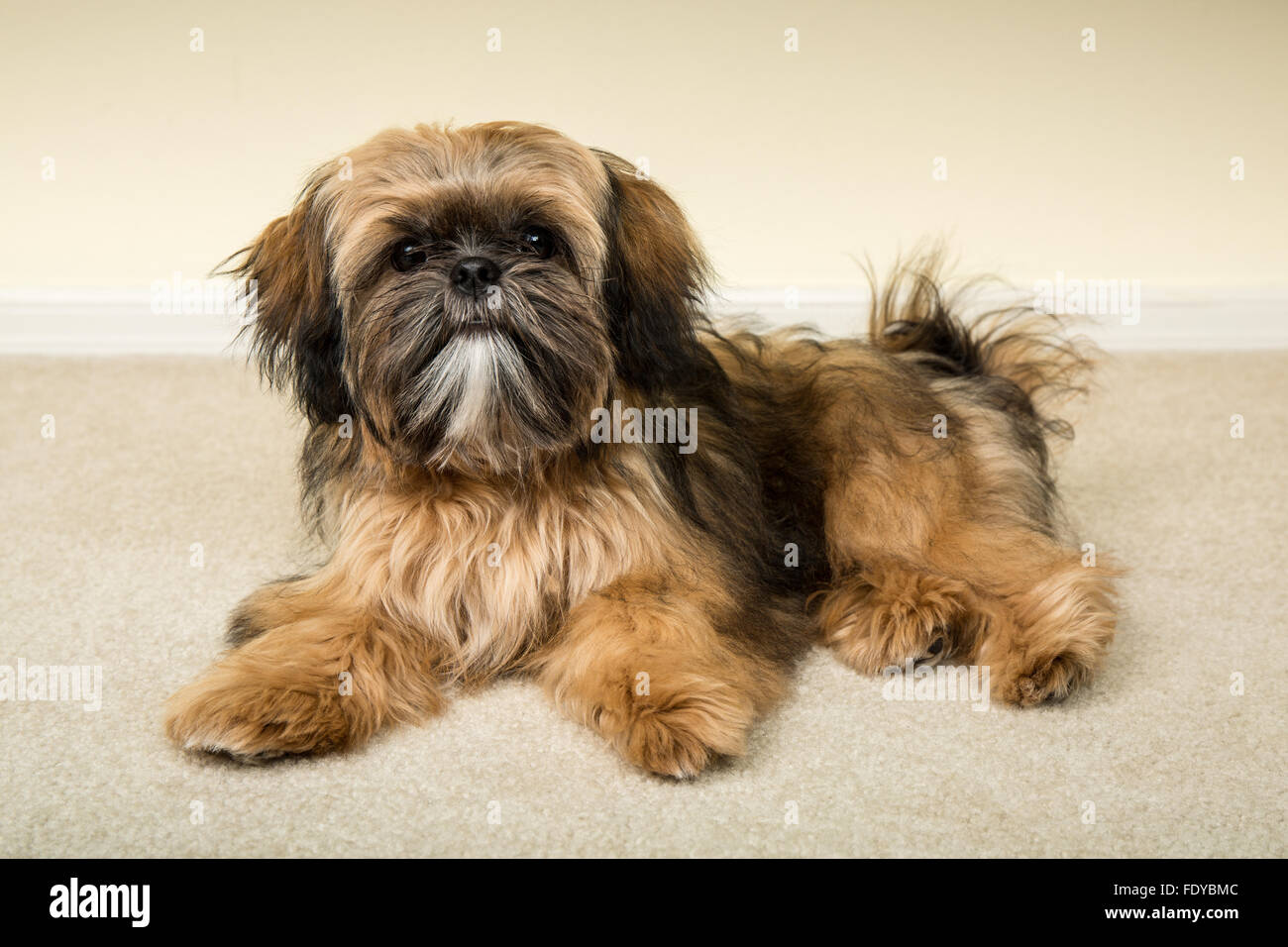 Five Month Old Shih Tzu Puppy Wilson In A Reclining Pose In Stock