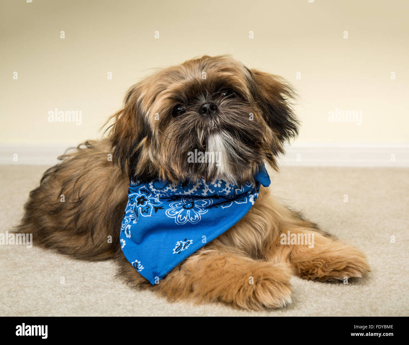 Five Month Old Shih Tzu Puppy Wilson Wearing A Bandana In A Stock