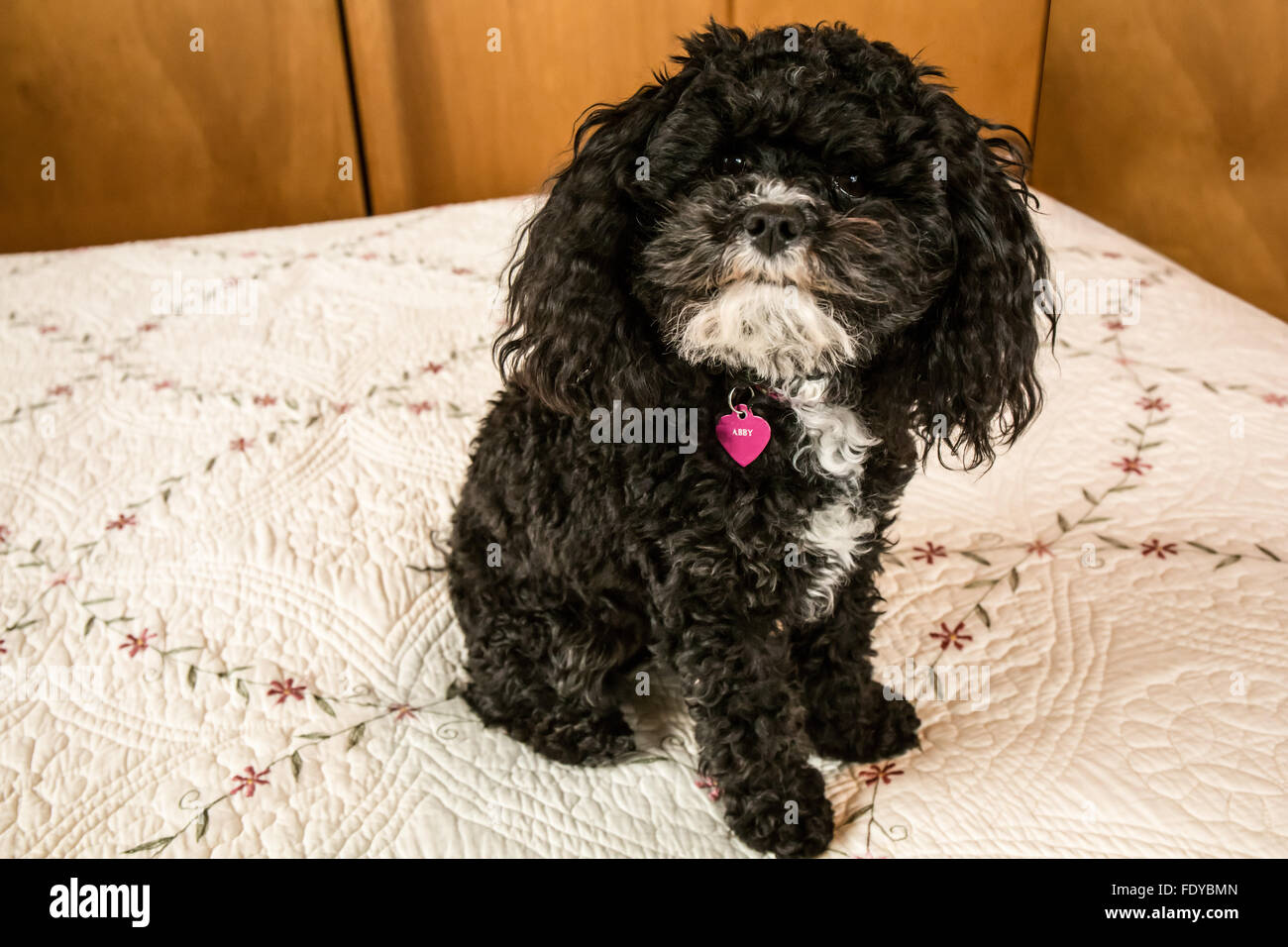 Toy Poodle Puppy Abby In Seattle Washington Usa Other Names For Stock Photo Alamy