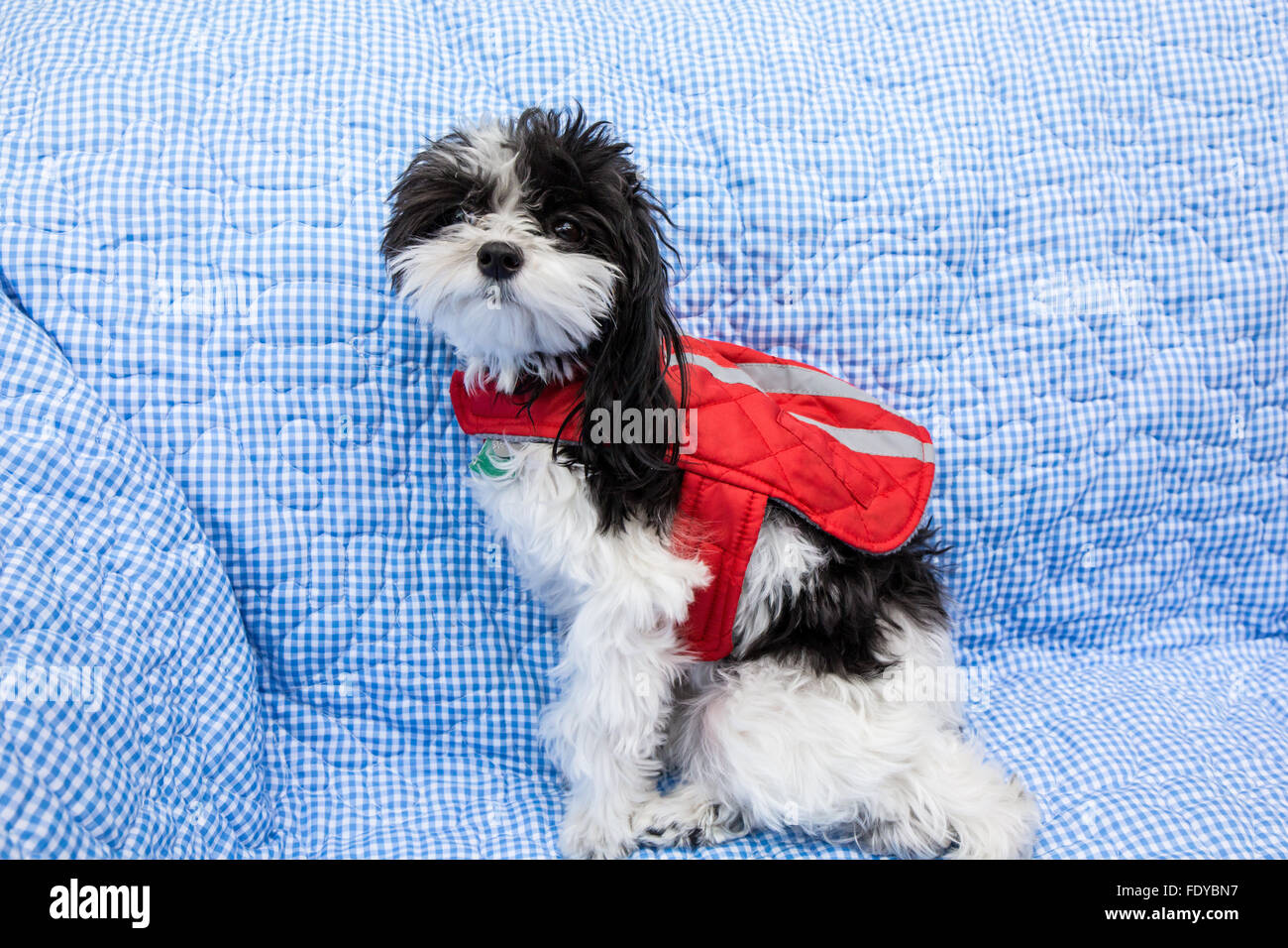 Maltipoo Puppy Amy Sitting On A Sofa Modeling Her Jacket In Stock