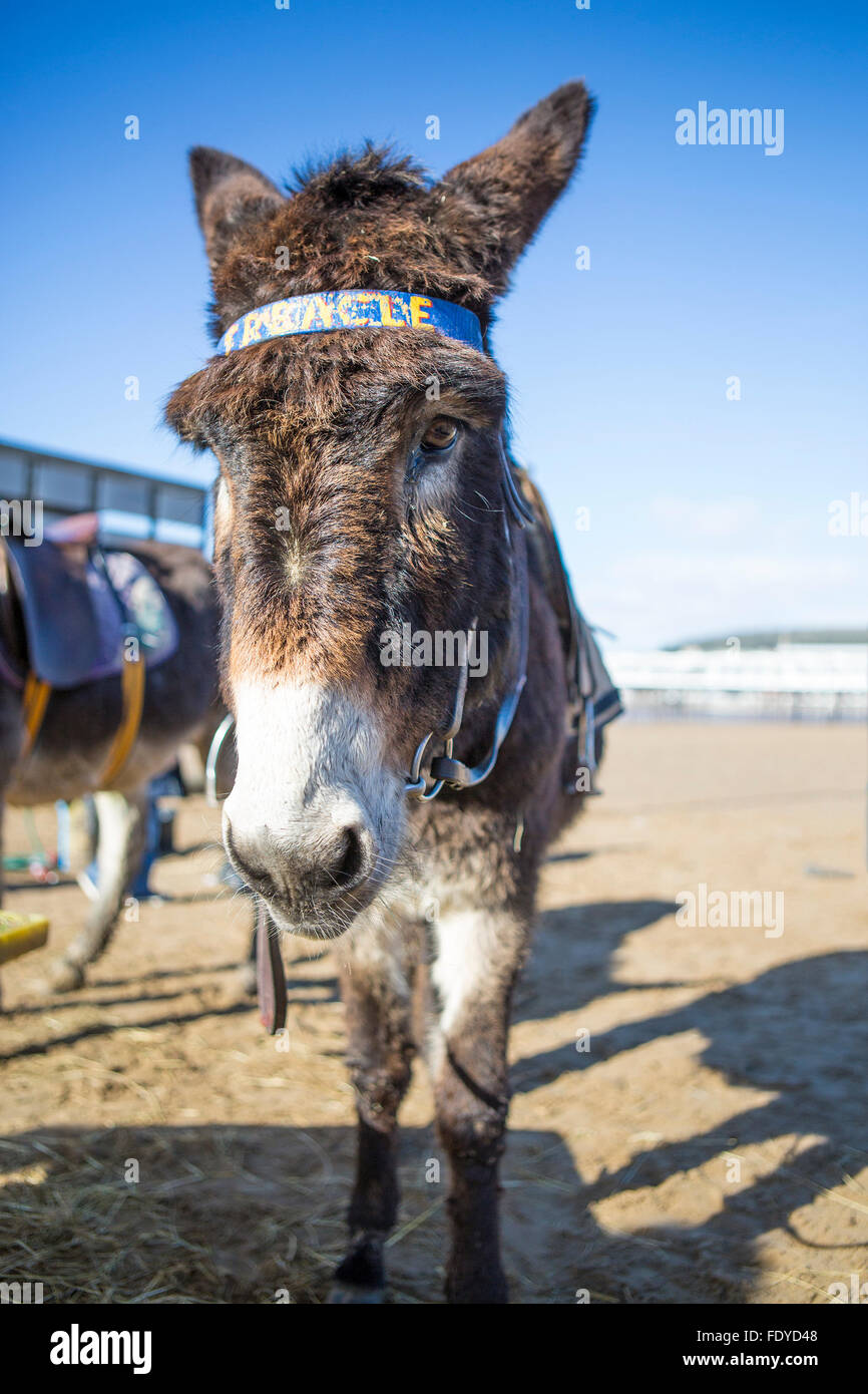 Donkey on the Beach at Weston Super Mare, Somerset, UK - Stock Image