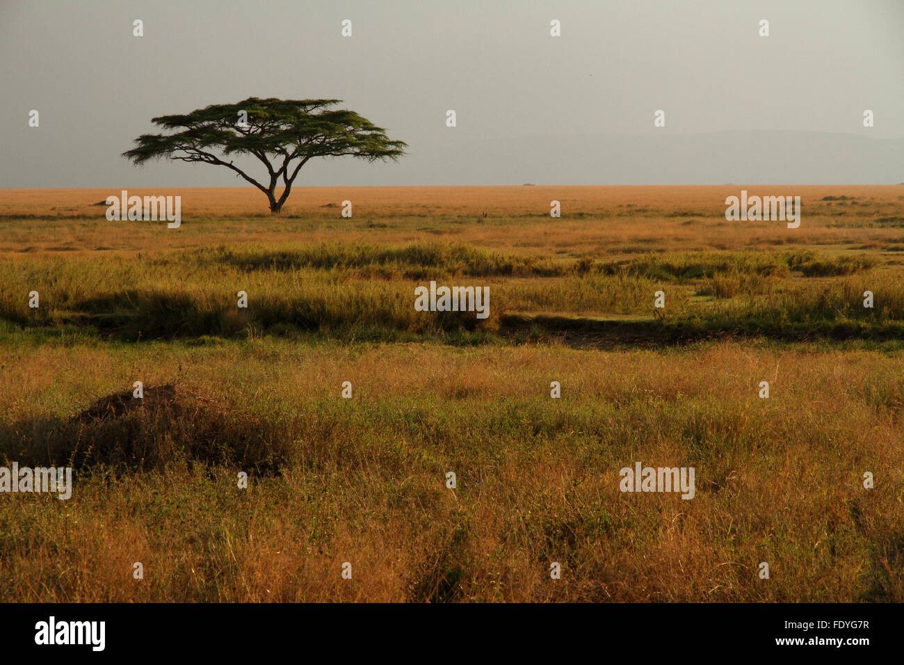A lone acacia tree sitting in the colorful grasses of the African savannah - Stock Image