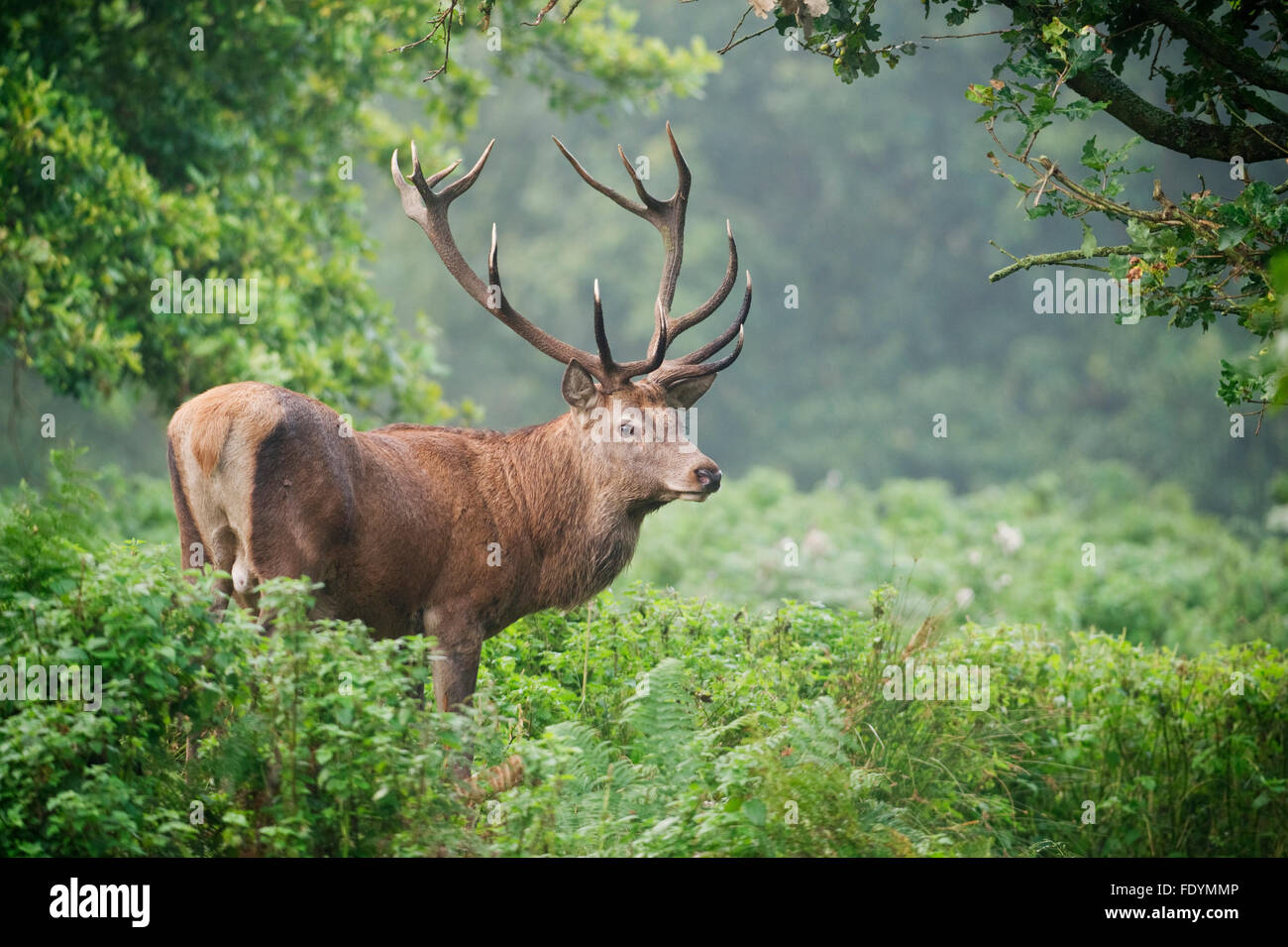 Red Deer (Cervus elaphus) stag in forest - Stock Image
