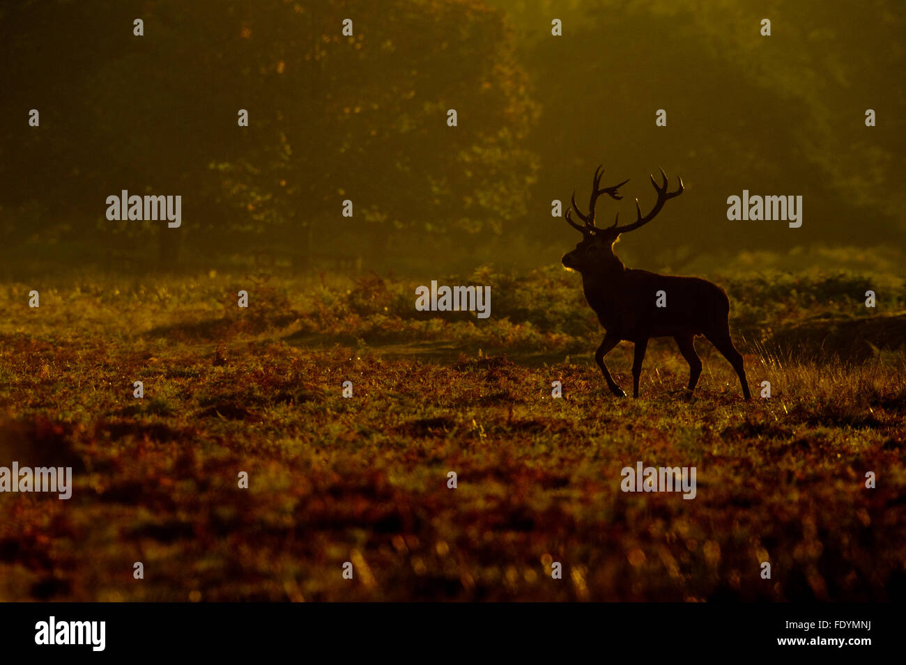 Red Deer (Cervus elaphus) stag in morning light - Stock Image