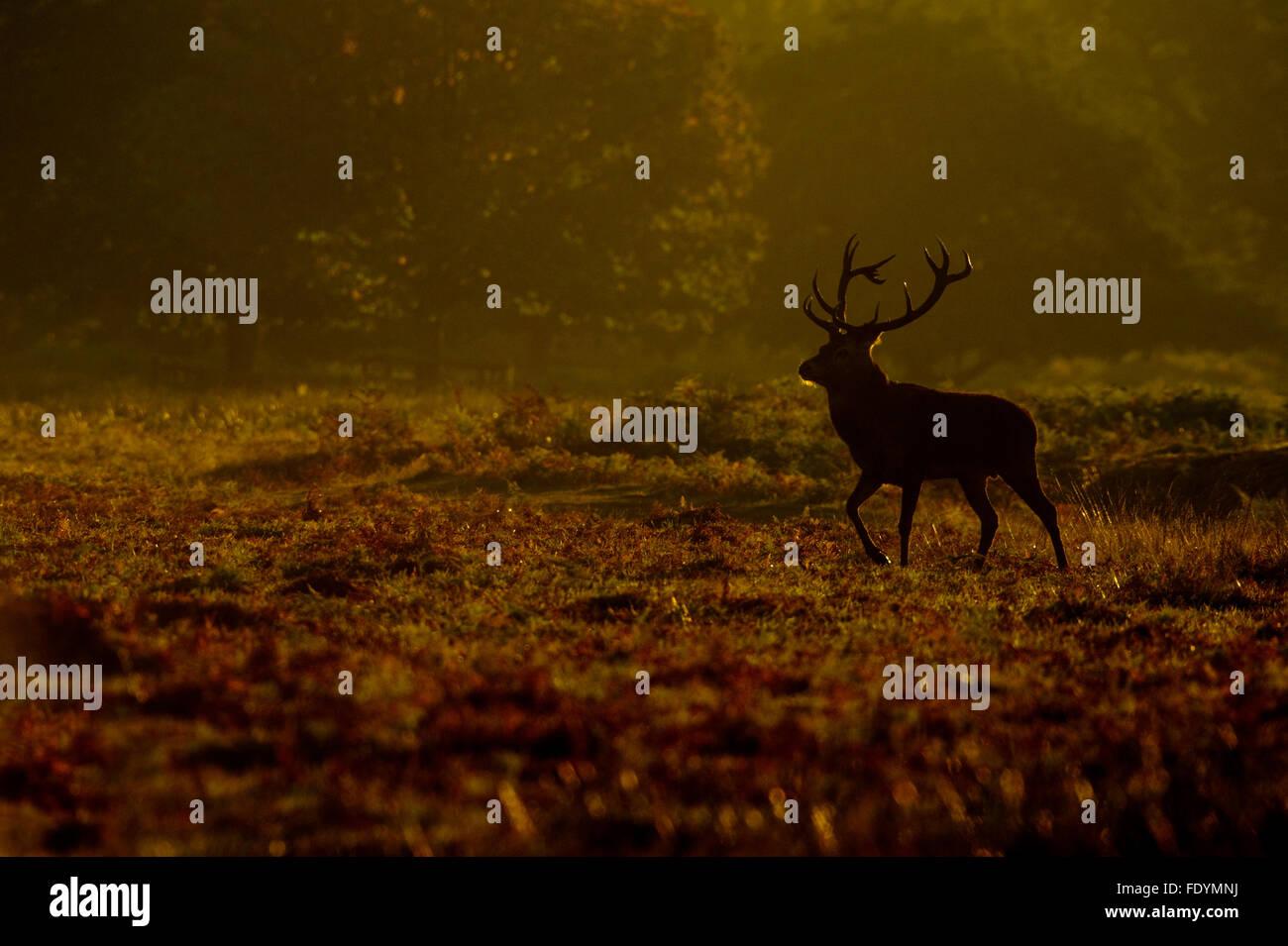 Red Deer (Cervus elaphus) stag in morning light Stock Photo