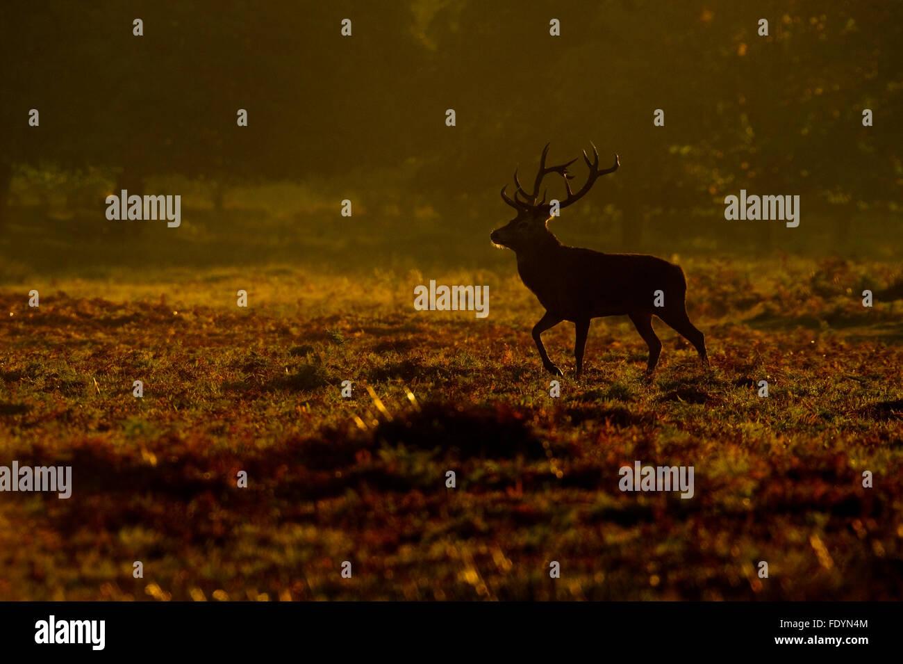 Red Deer (Cervus elaphus) stag in morning light - Stock Image