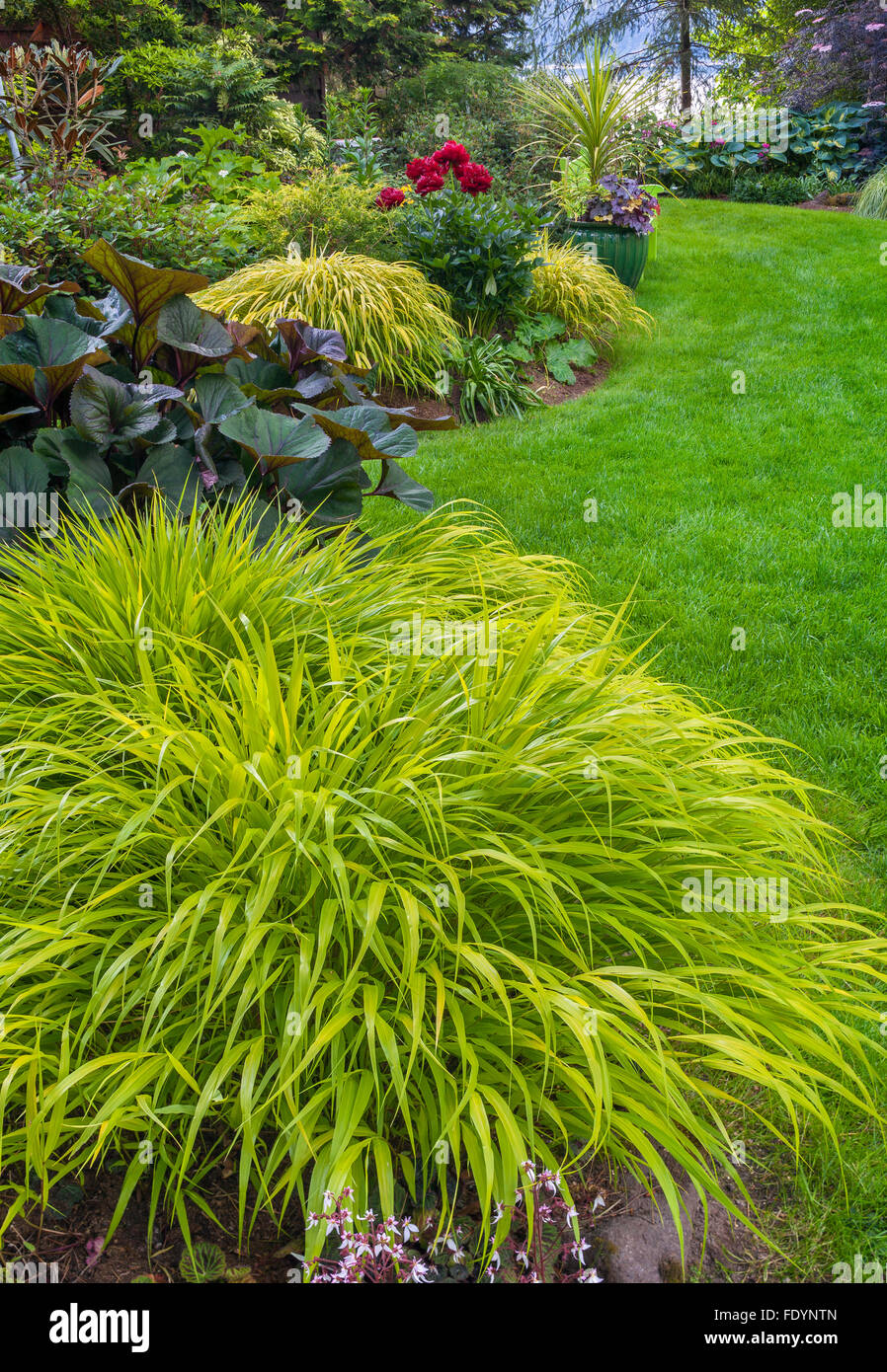 Vashon-Maury Island, WA: Japanese forest grass (Hakonechloa macra 'All Gold') in a shade garden with ligularia, Stock Photo