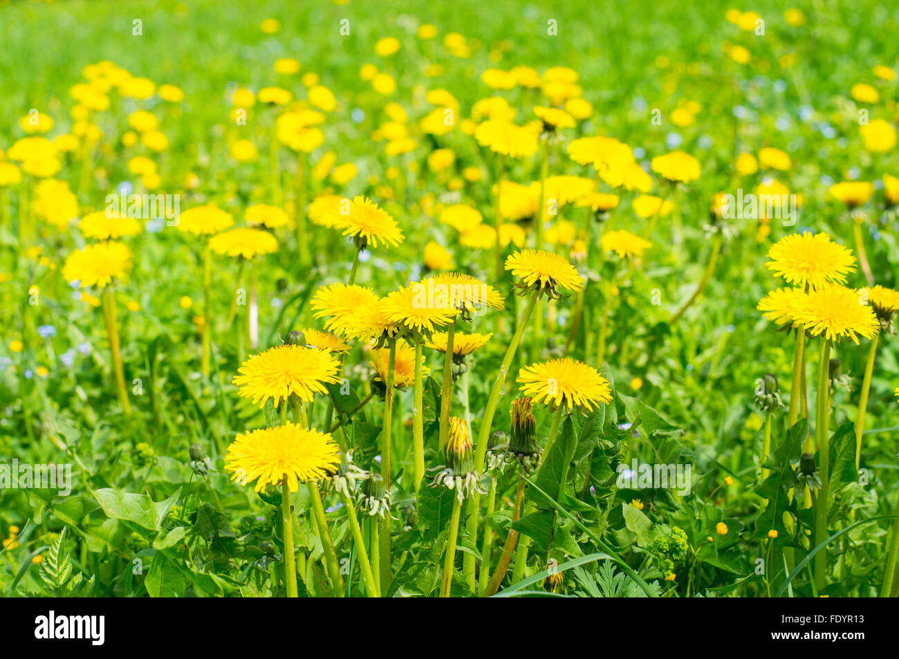 Field of abloom dandelions, spring-time background Stock Photo