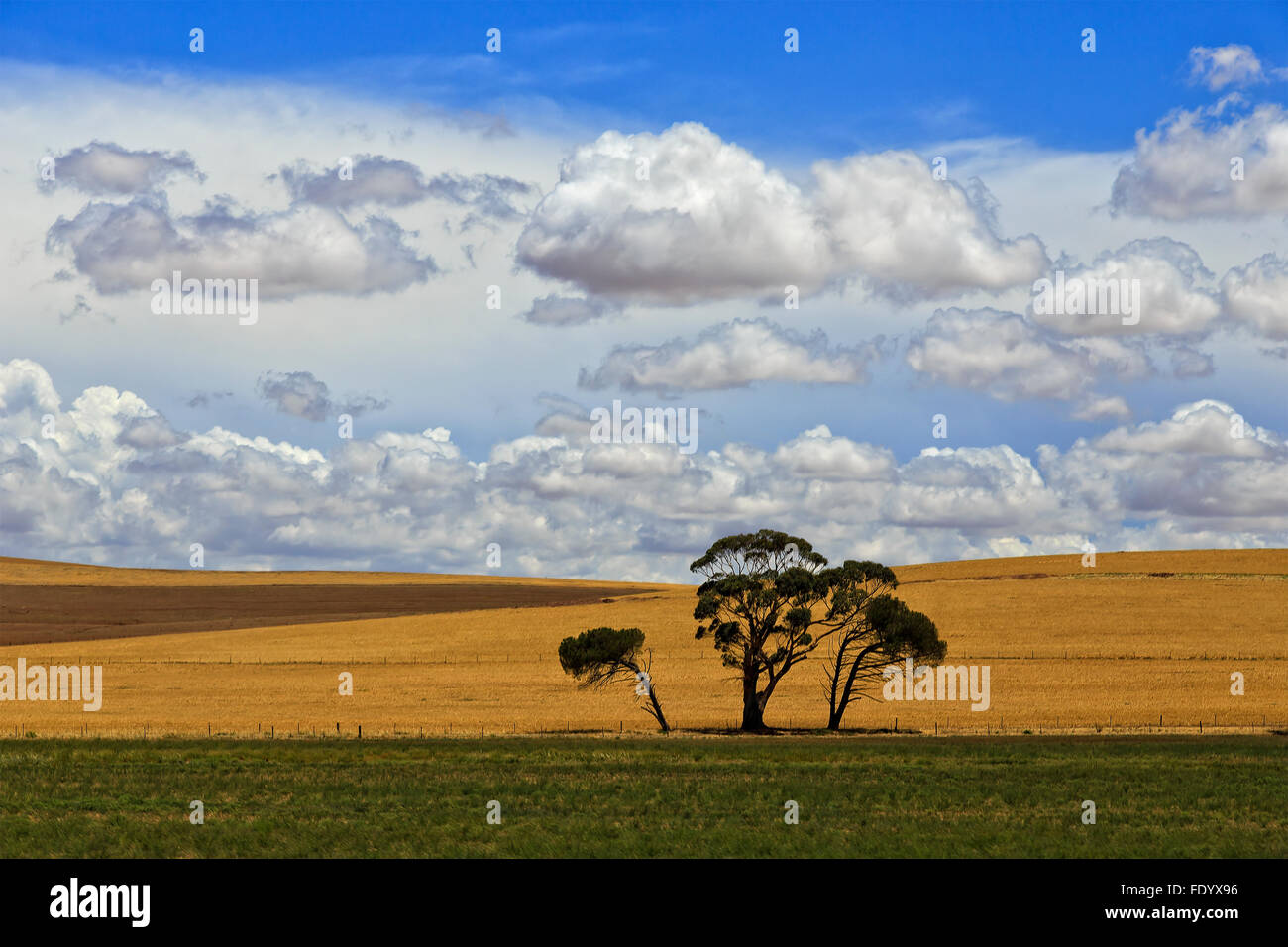 3 lonely dark pine trees agaist yellow background of endless cultivated agricultural plains of farmland in South Stock Photo