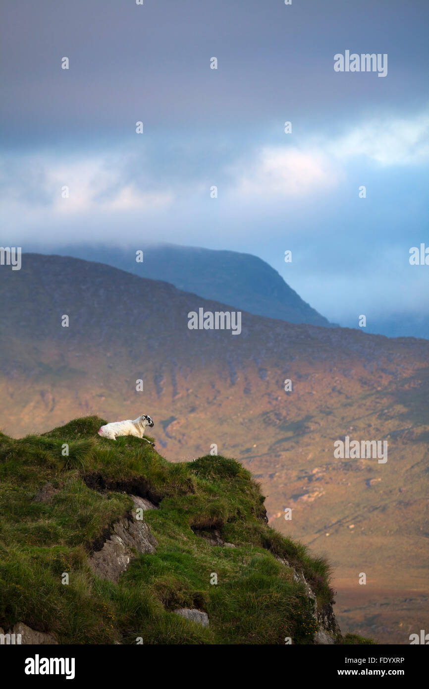 Sheep looking across the Black Valley from Moll's Gap, County Kerry, Ireland. - Stock Image