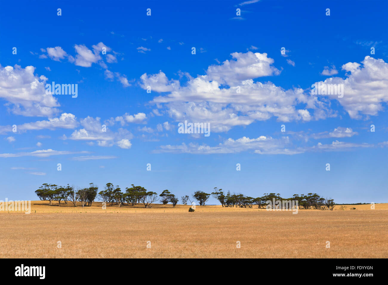 endless cultivated farm fields of wheat in South AUstralia on  a sunny day with distant group of eucalyptus trees - Stock Image
