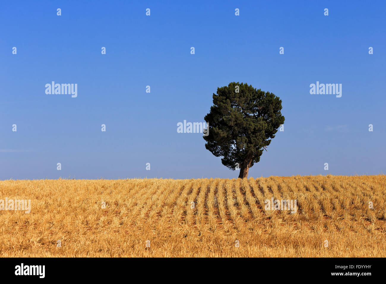 yellow wheat field after harvested crop with lonely tree on a horizon agaist clear blue sky - Stock Image