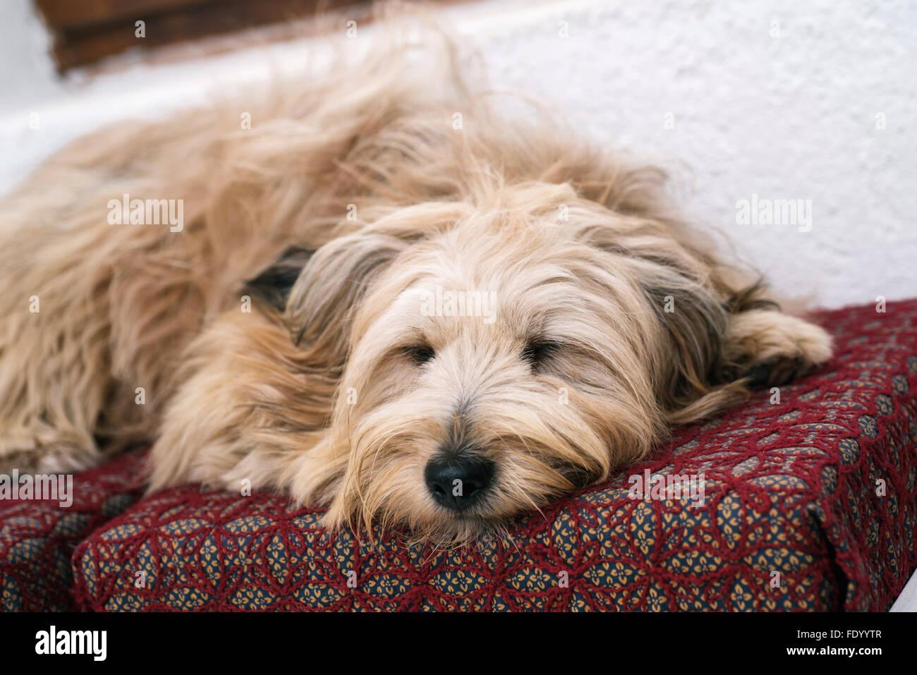 Cute dog in house sleeping - Stock Image