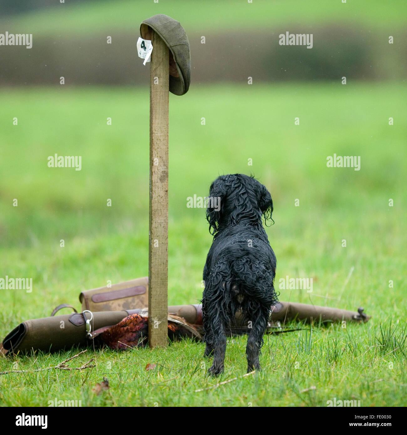 cocker spaniel on peg at a shoot - Stock Image