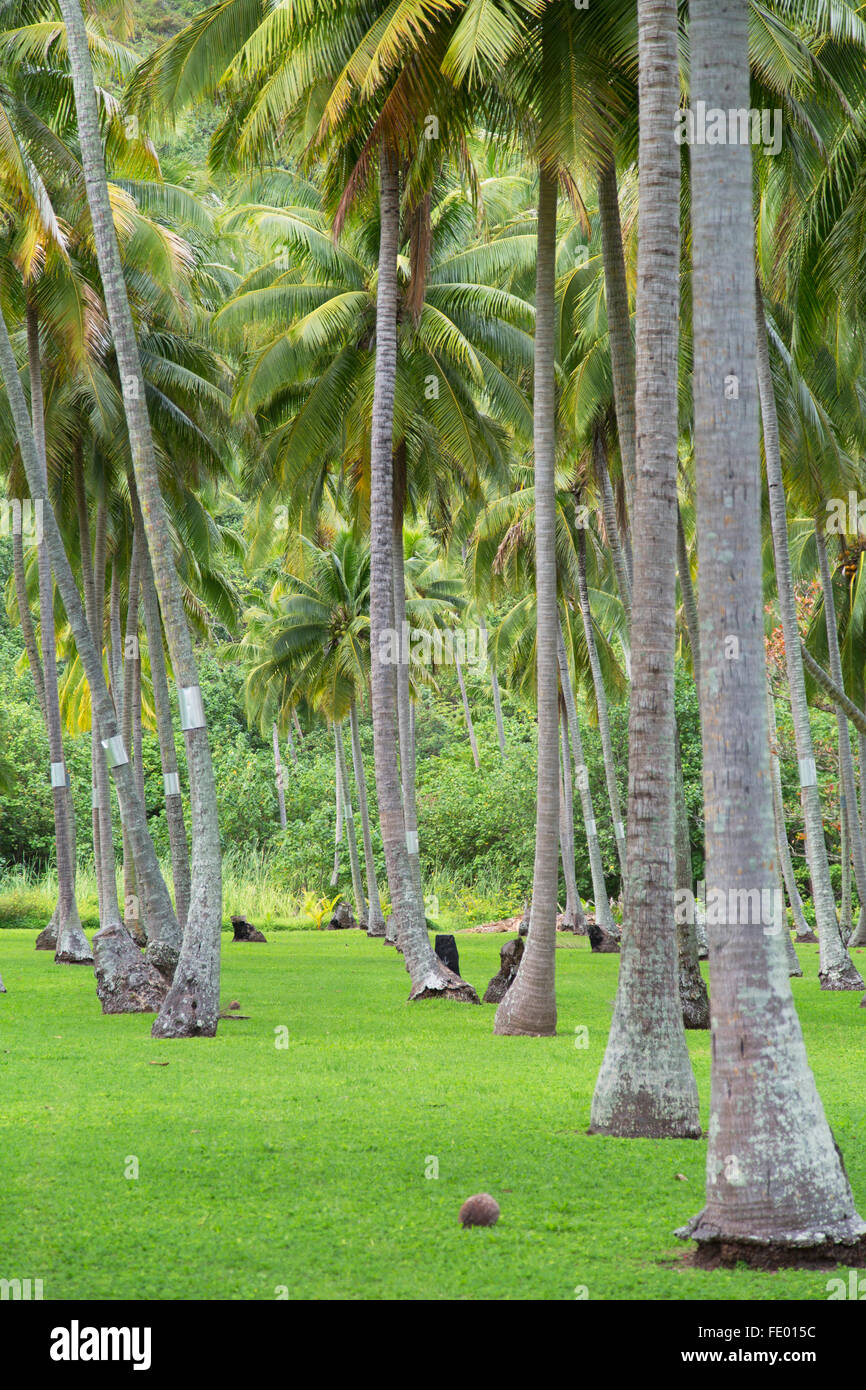 Coconut trees, Moorea, Society Islands, French Polynesia - Stock Image