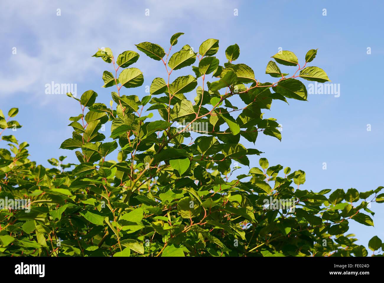 Sakhalin Knotweed or Fallopia sachalinensis in summer - Stock Image