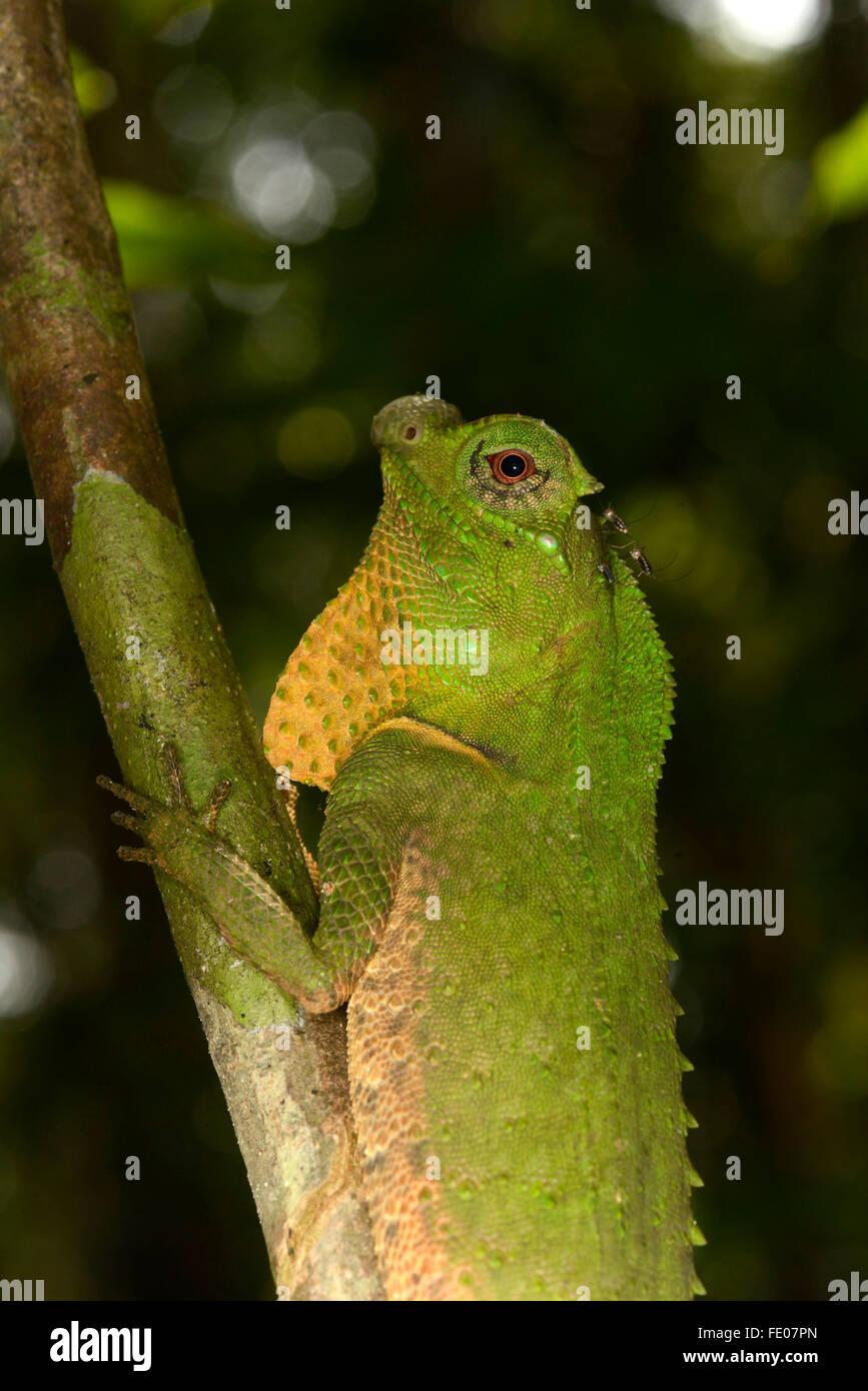 Hump Snout or Hump-nosed Lizard (Lyriocephalus scutatus) resting on branch, Sinharaja Forest Reserve, Sri Lanka, - Stock Image