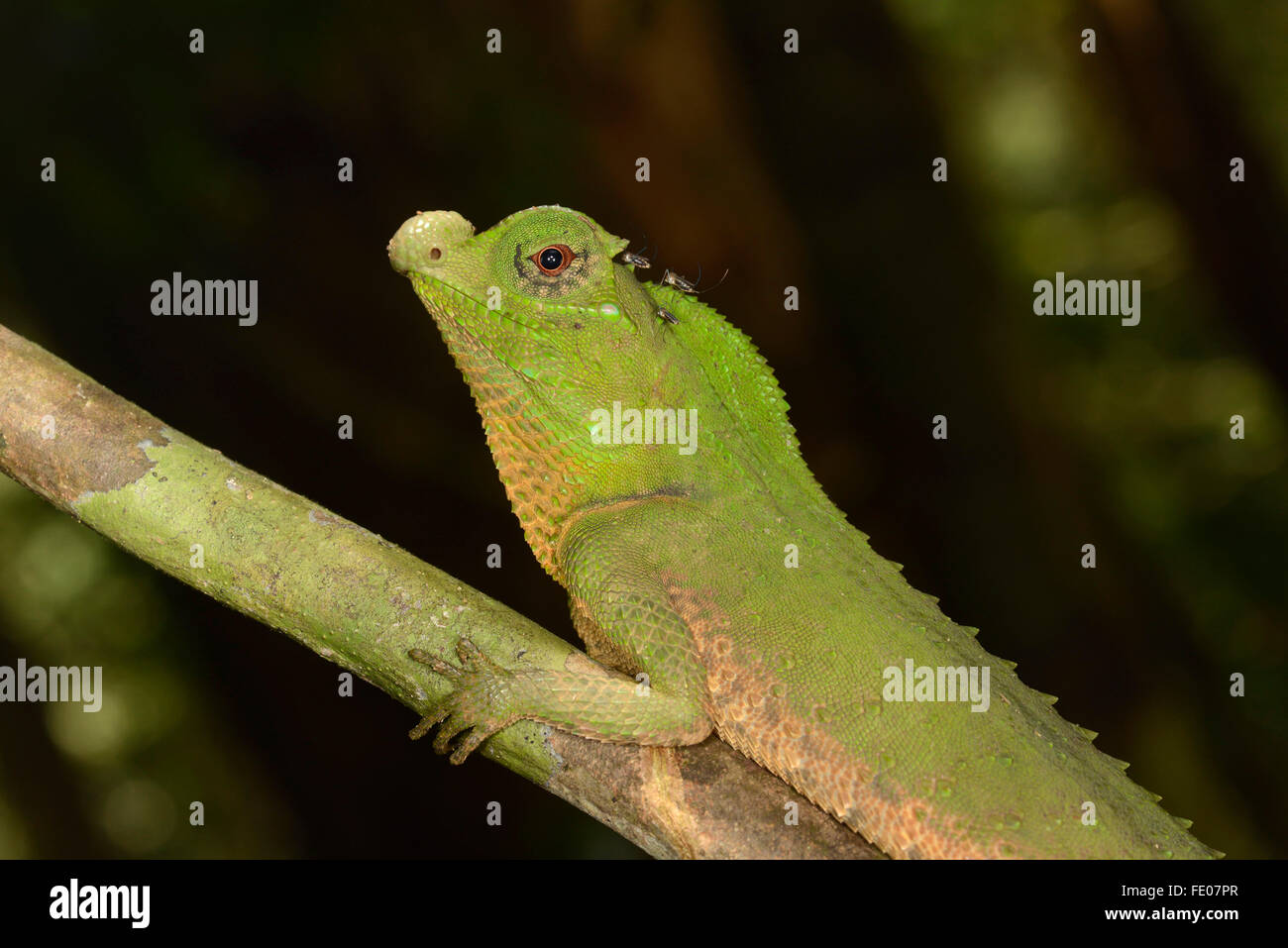Hump Snout or Hump-nosed Lizard (Lyriocephalus scutatus) portrait, Sinharaja Forest Reserve, Sri Lanka, March - Stock Image