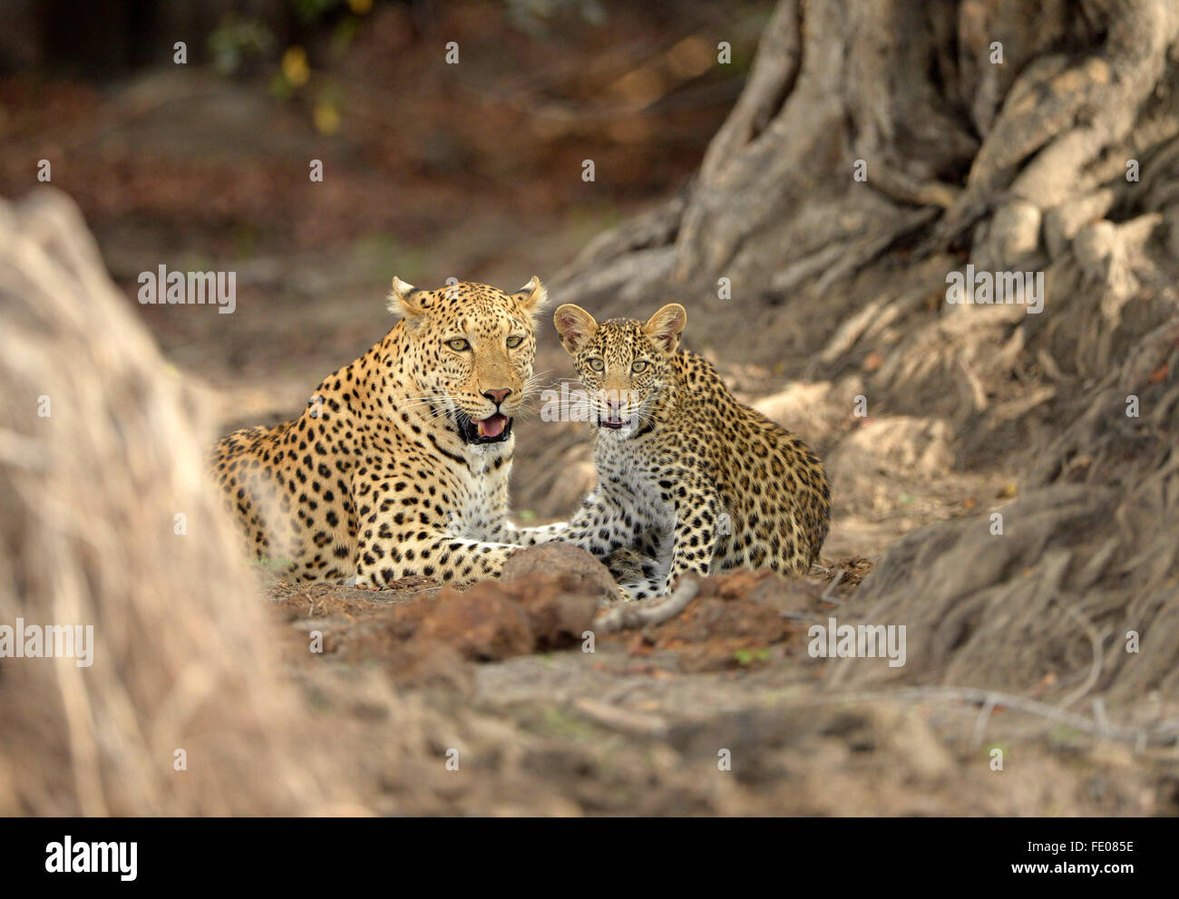 African Leopard (Panthera pardus) adult female and cub lying down together, Kafue National Park, Zambia, November - Stock Image