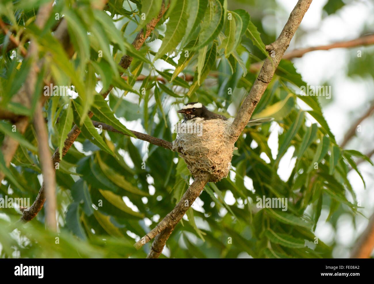 White-browed Fantail (Rhipidura aureola) sitting on nest, Yala National Park, Sri Lanka, March - Stock Image
