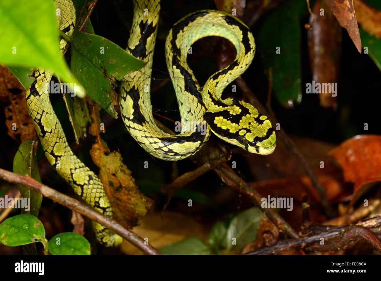 Sri Lankan Pit-viper (Trimeresurus trigonocephalus) Sinharaja Forest Reserve, Sri Lanka, March - Stock Image