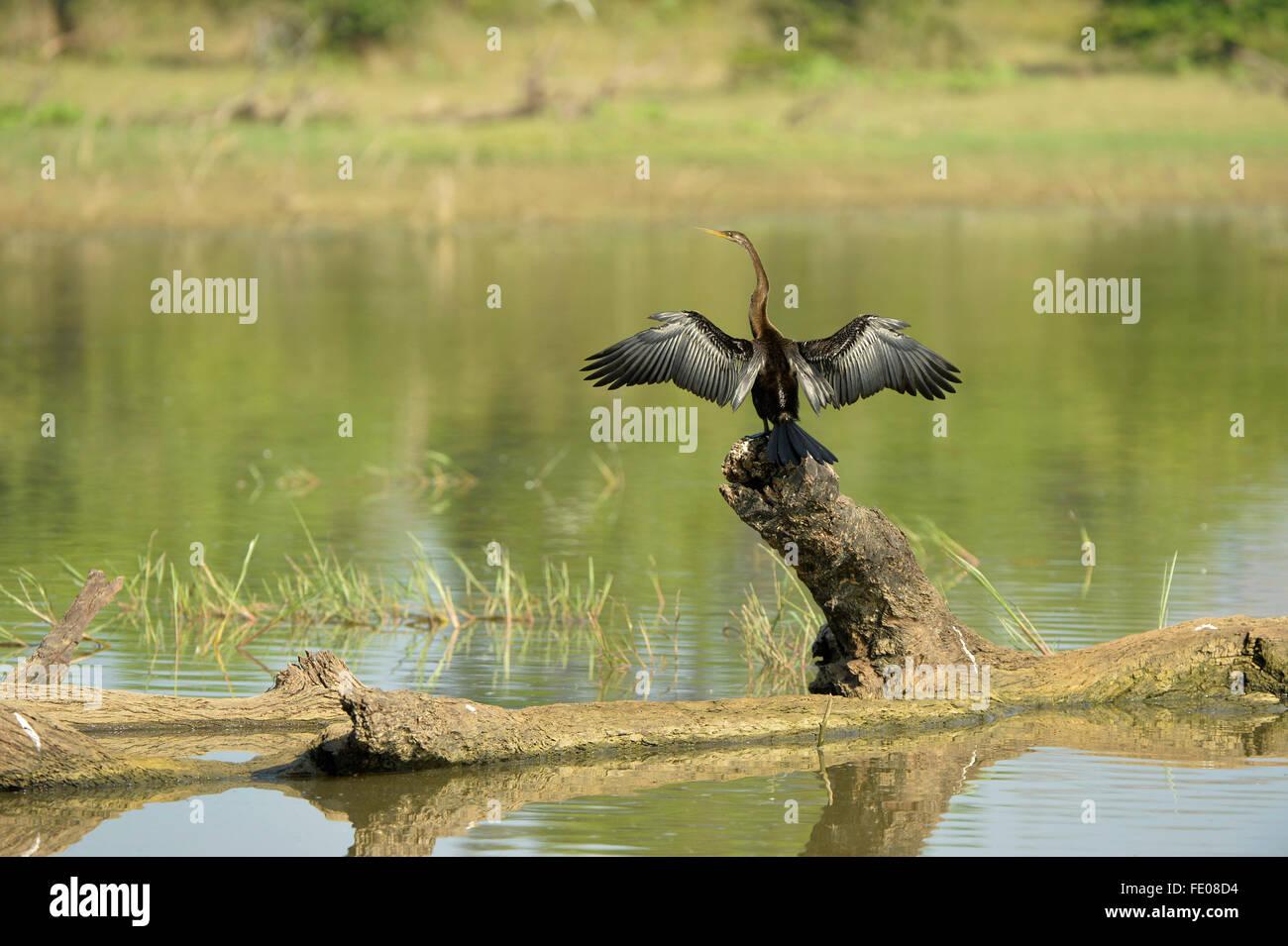 Snake Bird (Anhinga anhinga) perched on dead tree, drying wings, Yala National Park, Sri Lanka, March - Stock Image