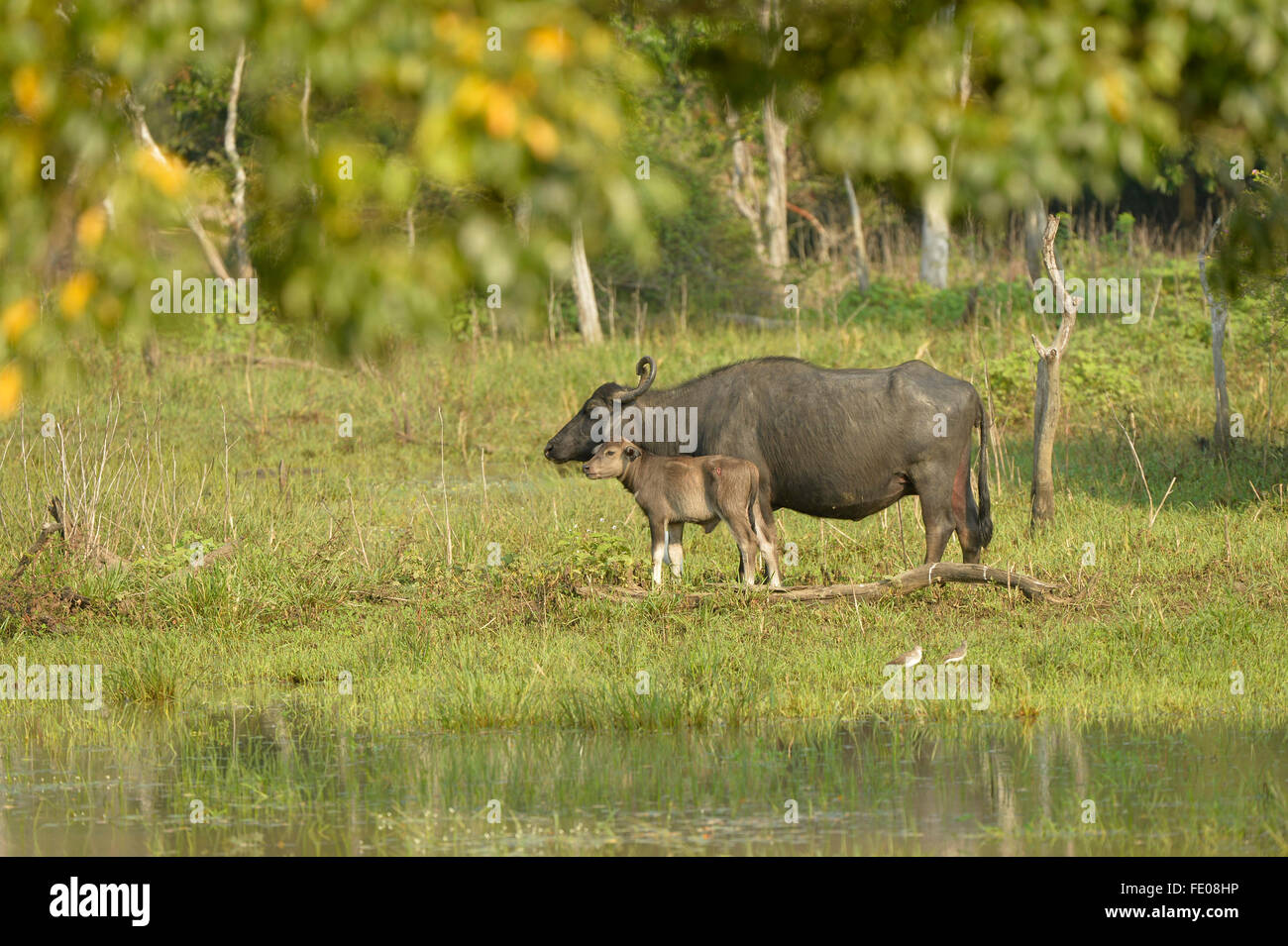 Asian Water Buffalo (Bubalus bubalis) female with young calf, Yala National Park, Sri Lanka, March - Stock Image