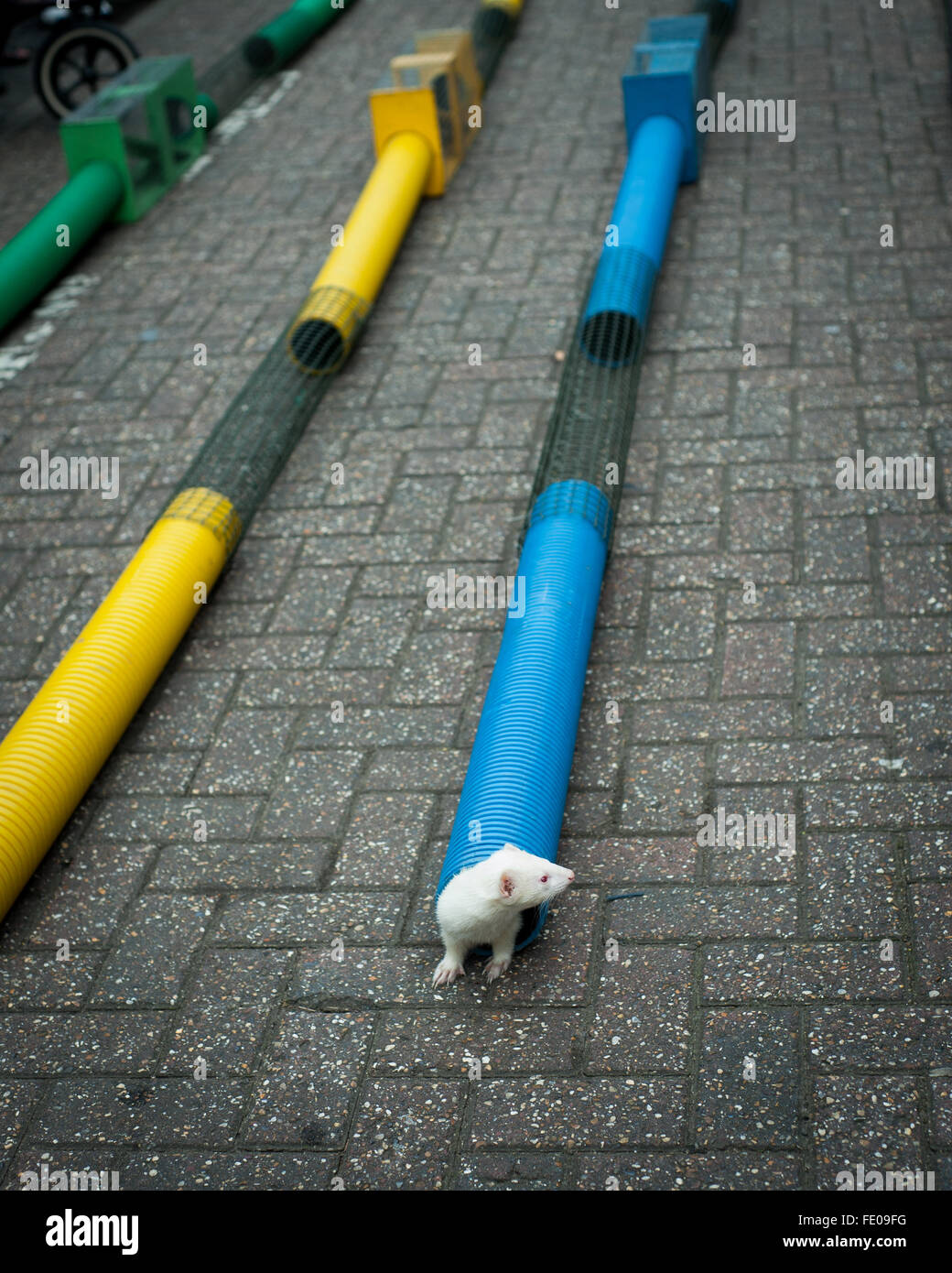 albino Mouse comes out of a drainpipe in local fair - Stock Image