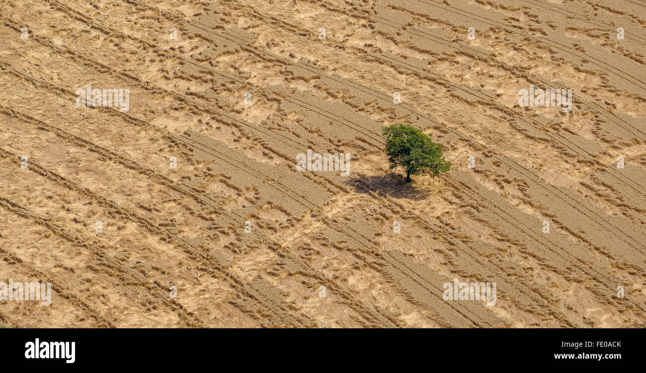 Aerial view, cornfield with lying Ears of corn after heavy rainfall, crop damage, crop failure, Hammer north, Gerstenfeld,Barley - Stock Image