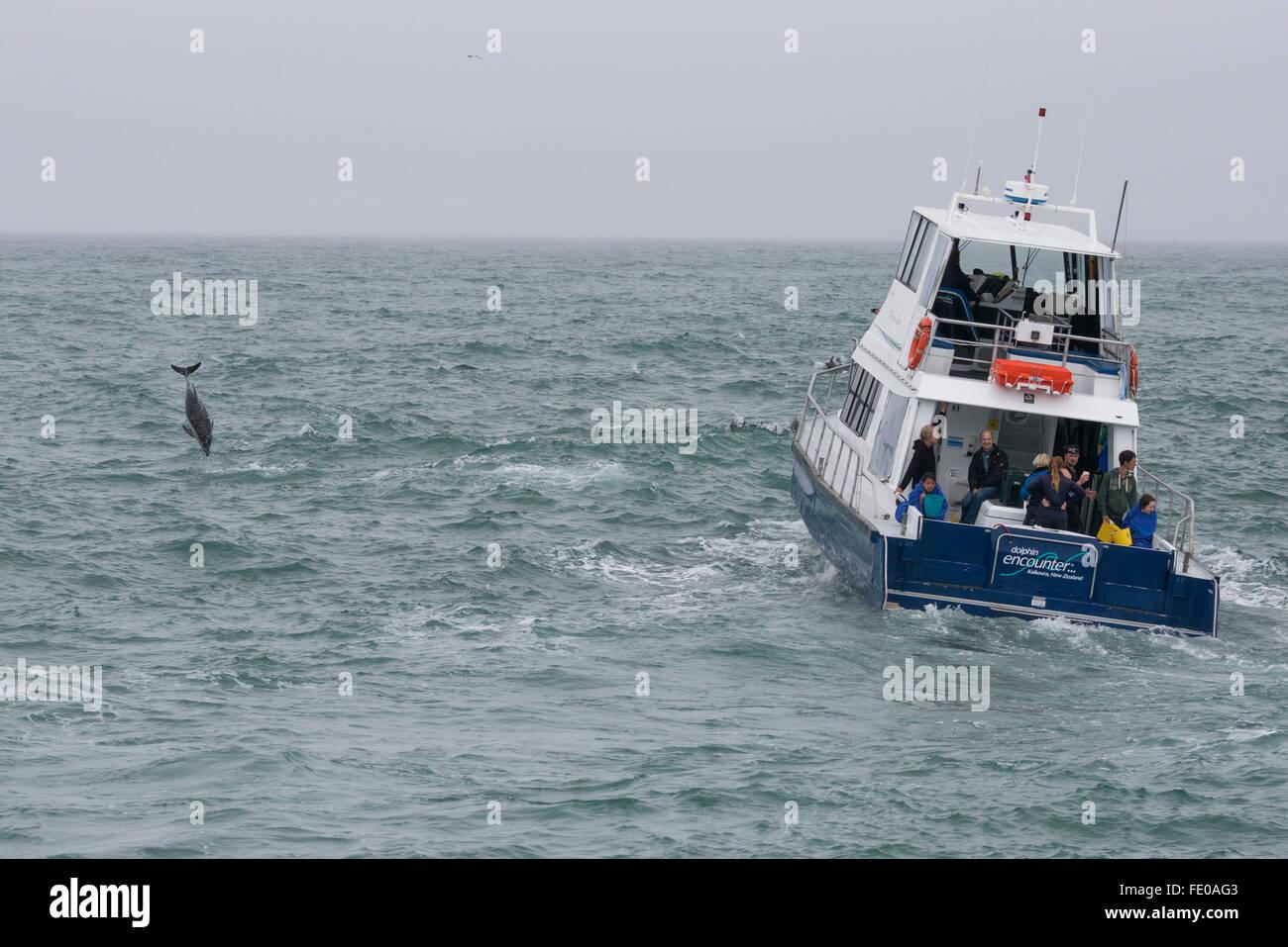 New Zealand, South Island, Kaikoura. Dusky dolphin jumping (Lagenorhynchus obscurus). Dolphin Encounter wildlife - Stock Image
