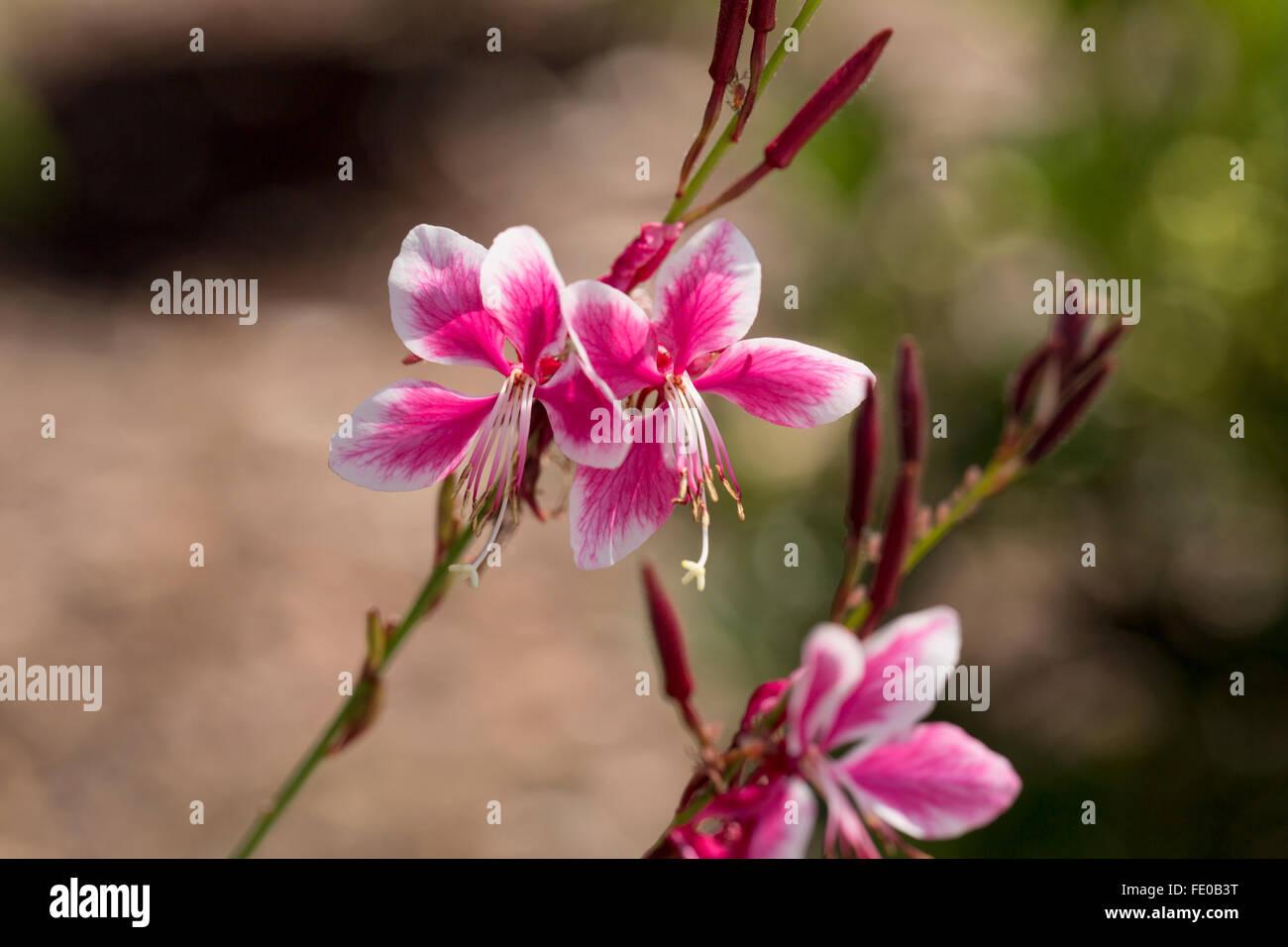 Whirling Butterflies, Gaura lindheimeri Siskiyou Pink - Stock Image