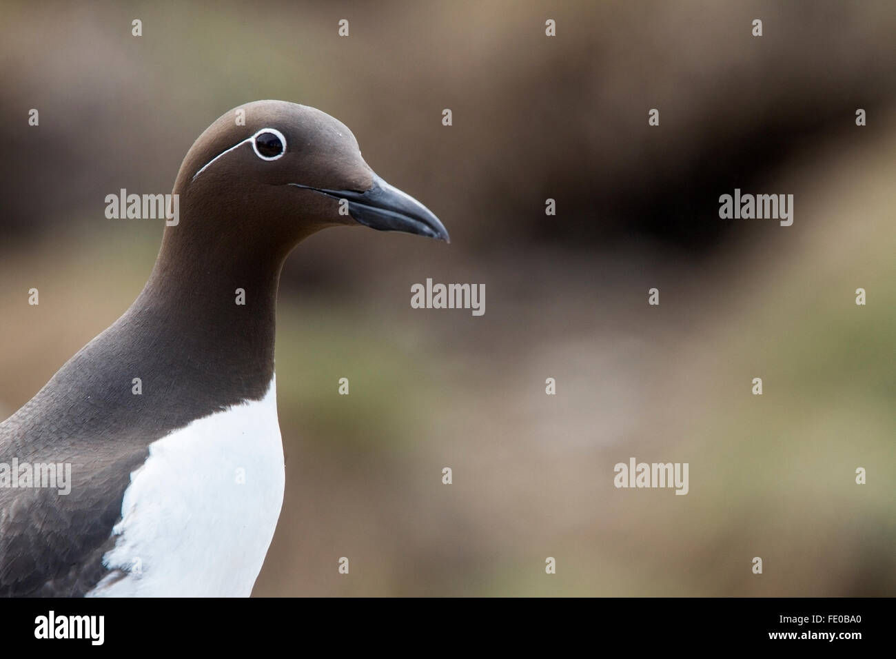 bridled guillemot (Uria aalge) adult standing on cliff showing head and facial pattern, Farne Islands, Northumberland, Stock Photo