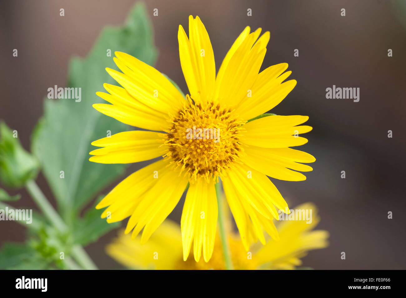 Mediterranean Wild Yellow Flower Stock Photos Mediterranean Wild