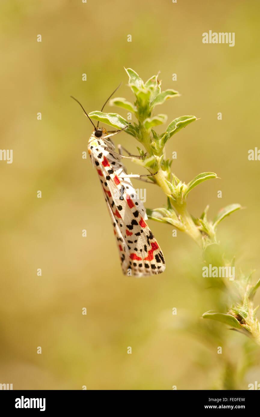 Crimson Speckled Moth, Utetheisa pulchella, Morocco - Stock Image