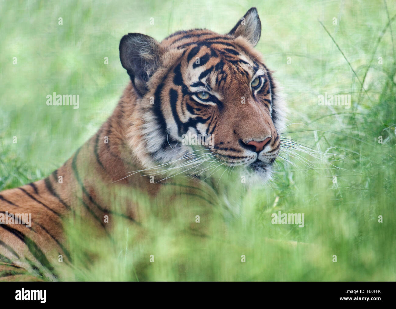 Malayan Tiger, Panthera tigris jacksoni, Stock Photo
