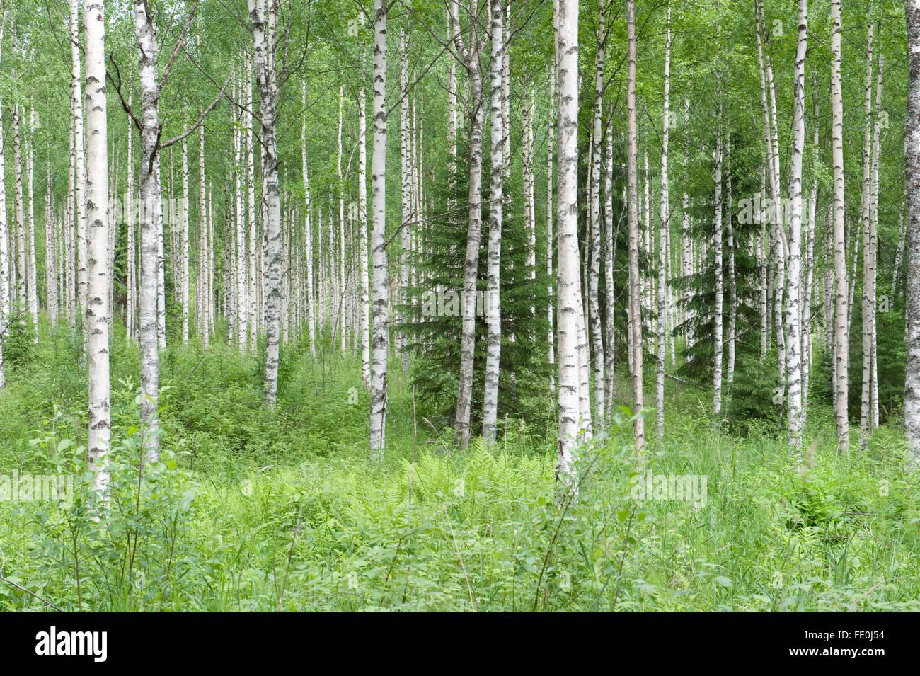 Silver Birch woodland, Betula pendula, Finland - Stock Image