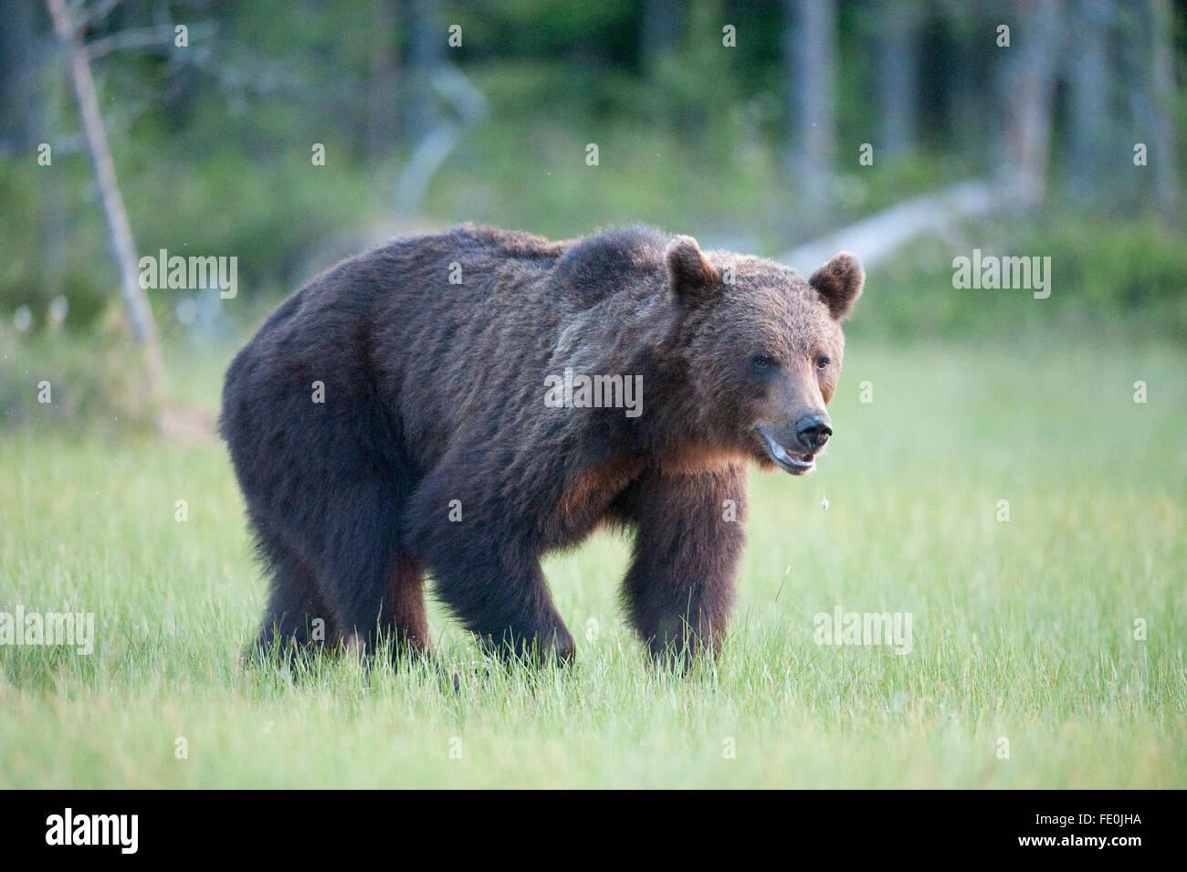 European Brown Bear, Ursus arctos arctos, Finland - Stock Image