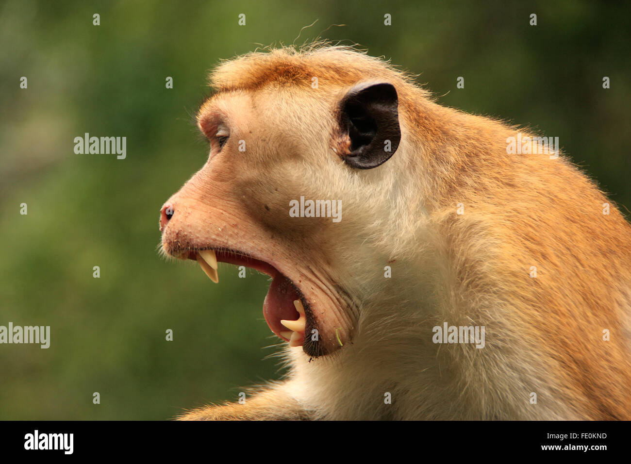Portrait of Toque macaque (Macaca sinica) yawning, Cave Temple in Dambulla, Sri Lanka. Toque macaques live only Stock Photo