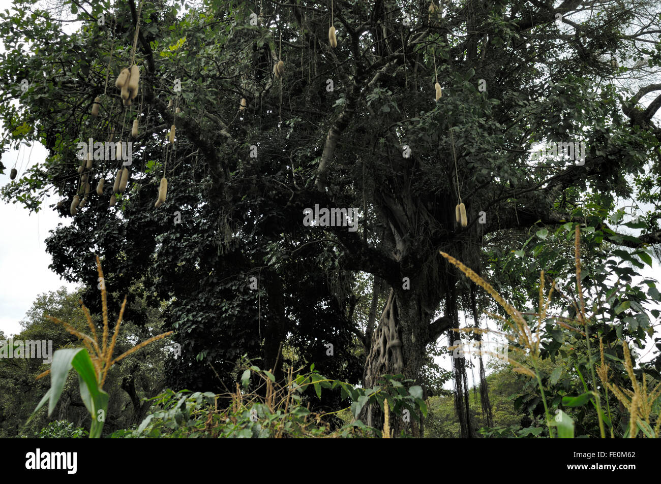 Kigelia (sausage tree) fruit near Moivaro Lodge - Stock Image