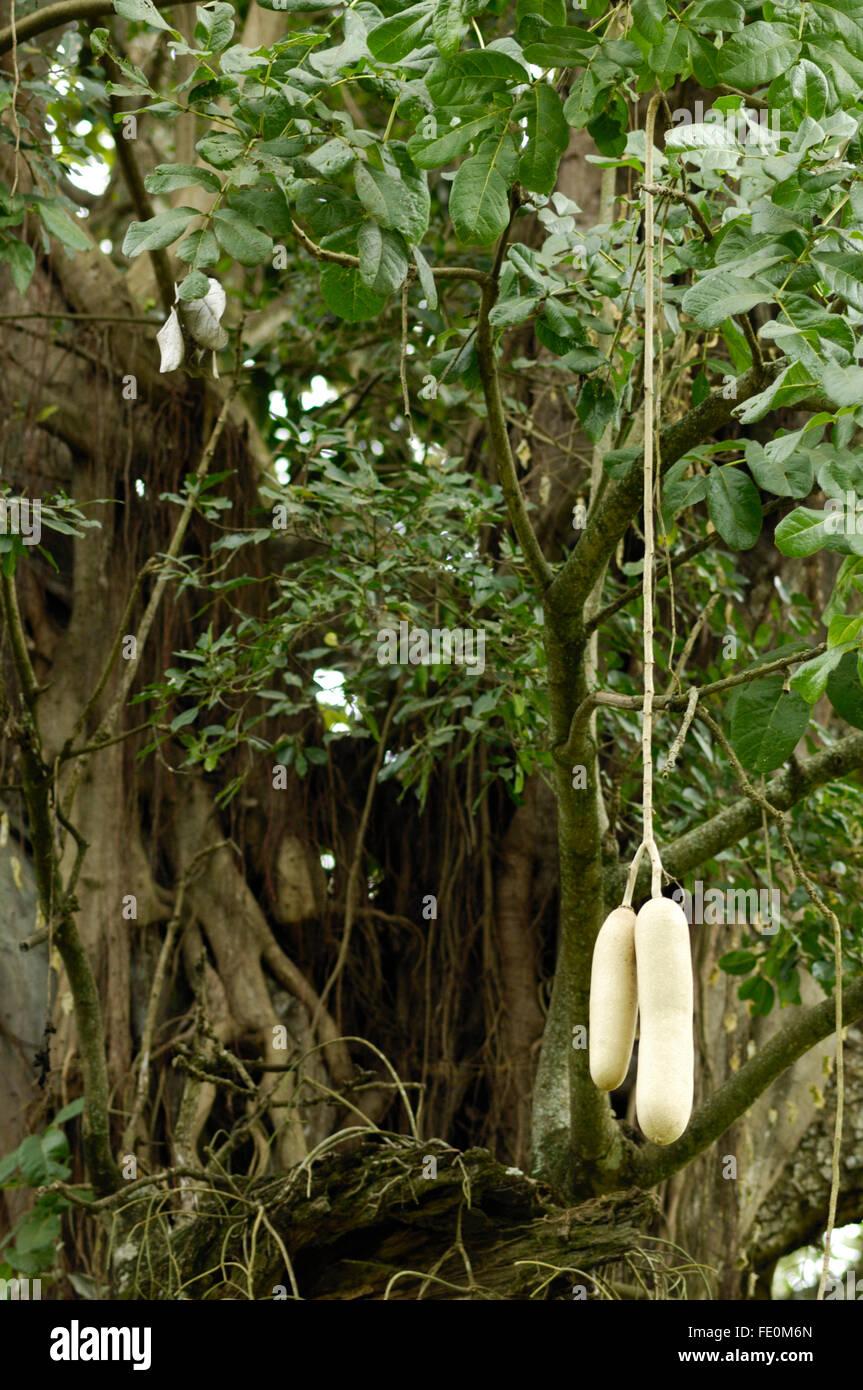 Kigelia (sausage tree) fruit near Moivaro Lodge Stock Photo