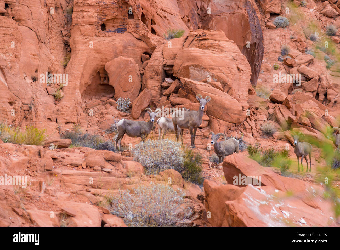 Desert big horn sheep in Valley of Fire State Park, Nevada, USA - Stock Image